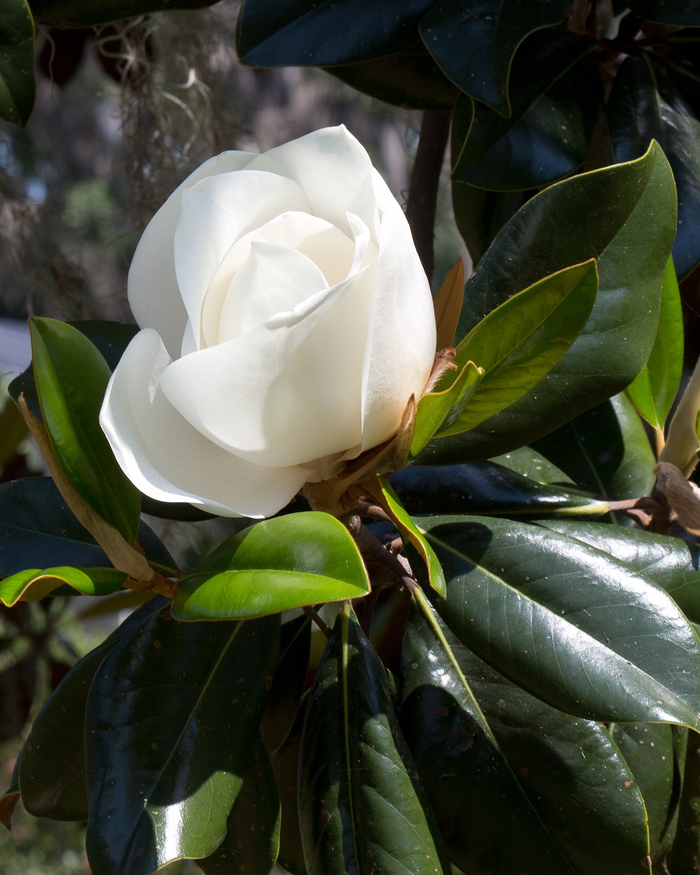 Southern Magnolia by ChuckL