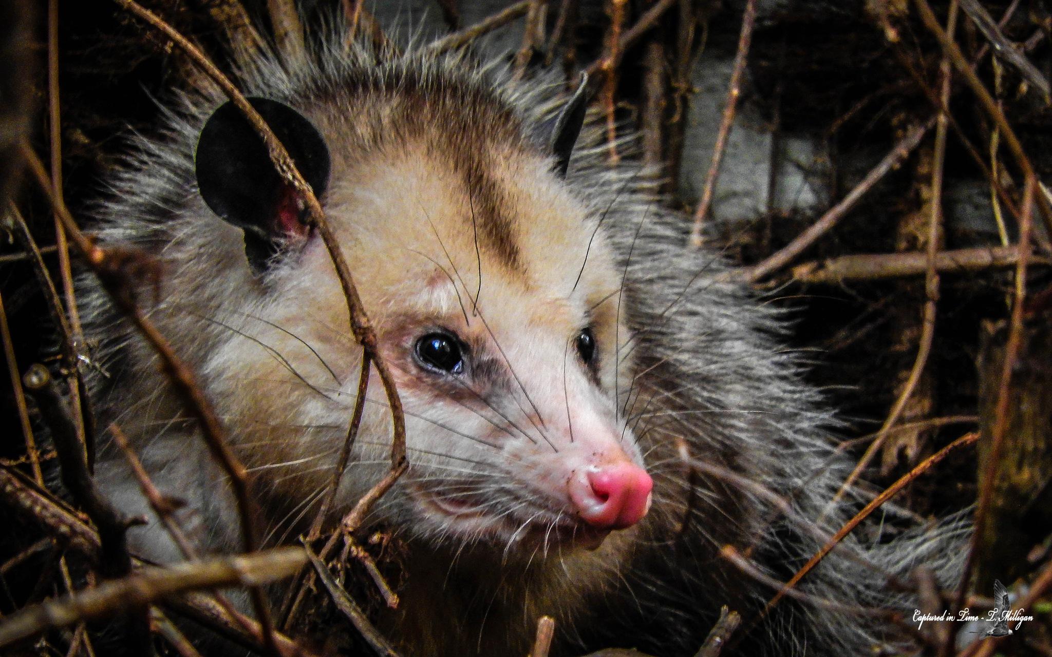 Possum by TMilligan