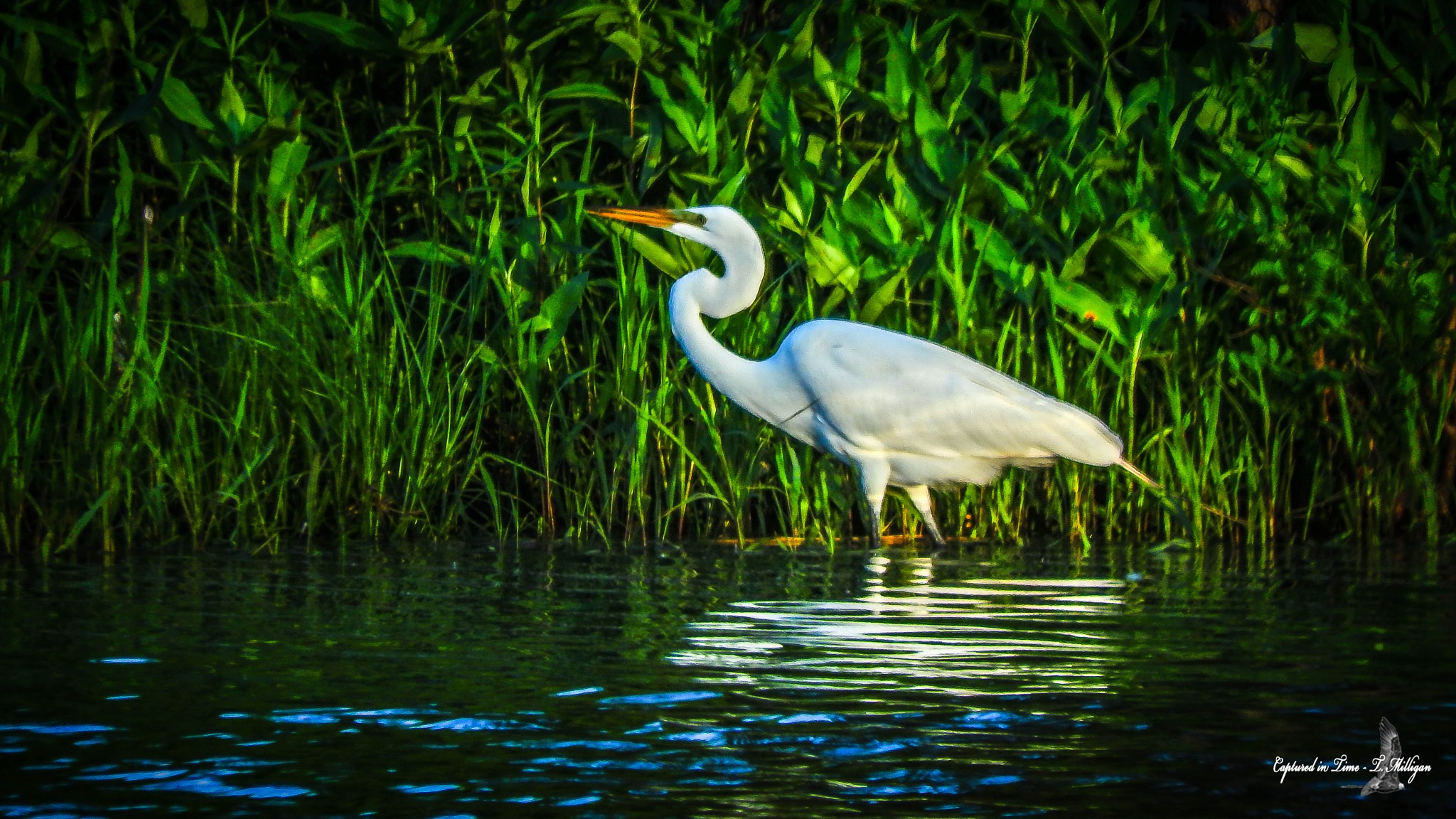 Egret at sunset by TMilligan
