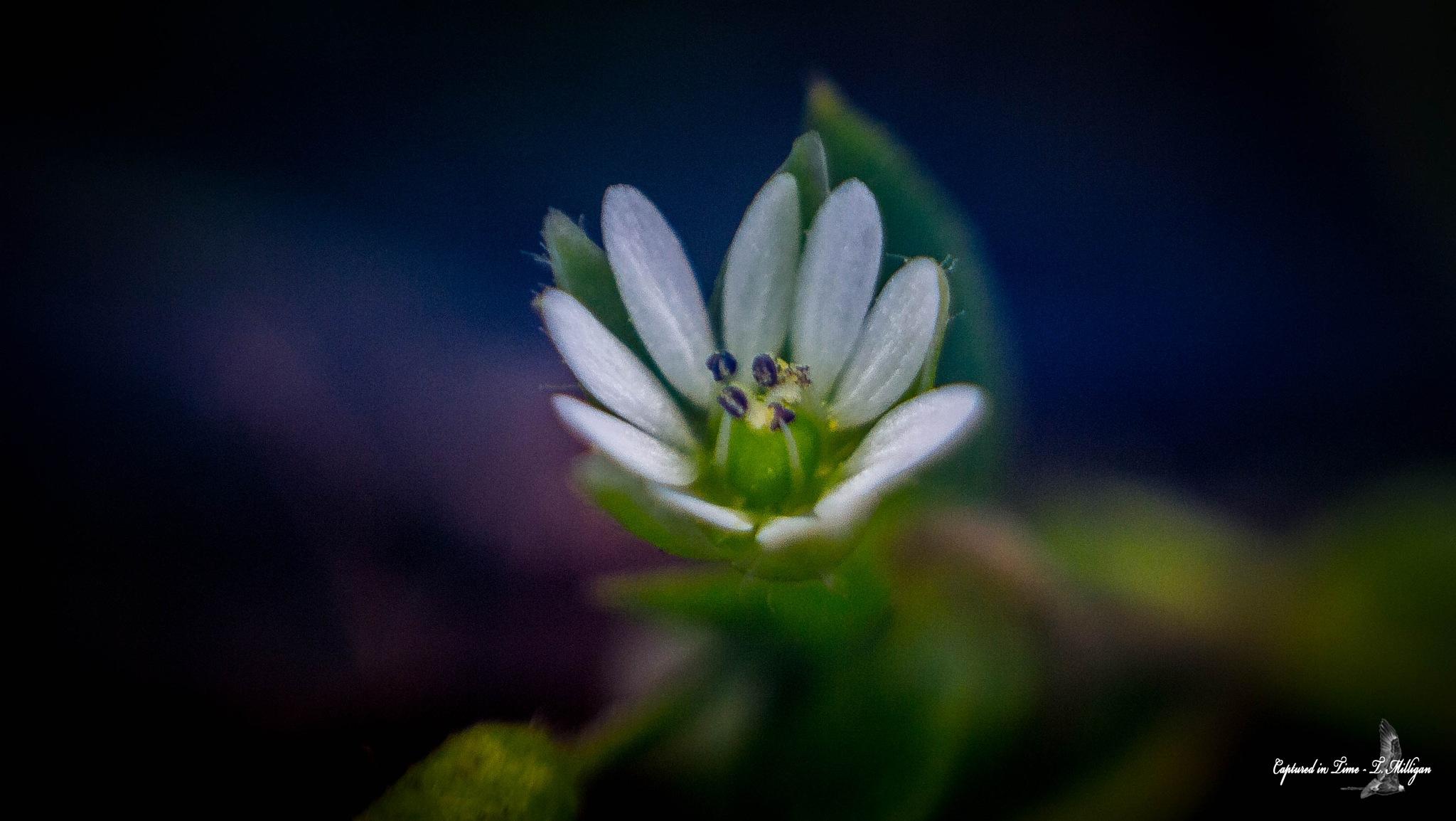 Freelensing  micro flower by TMilligan
