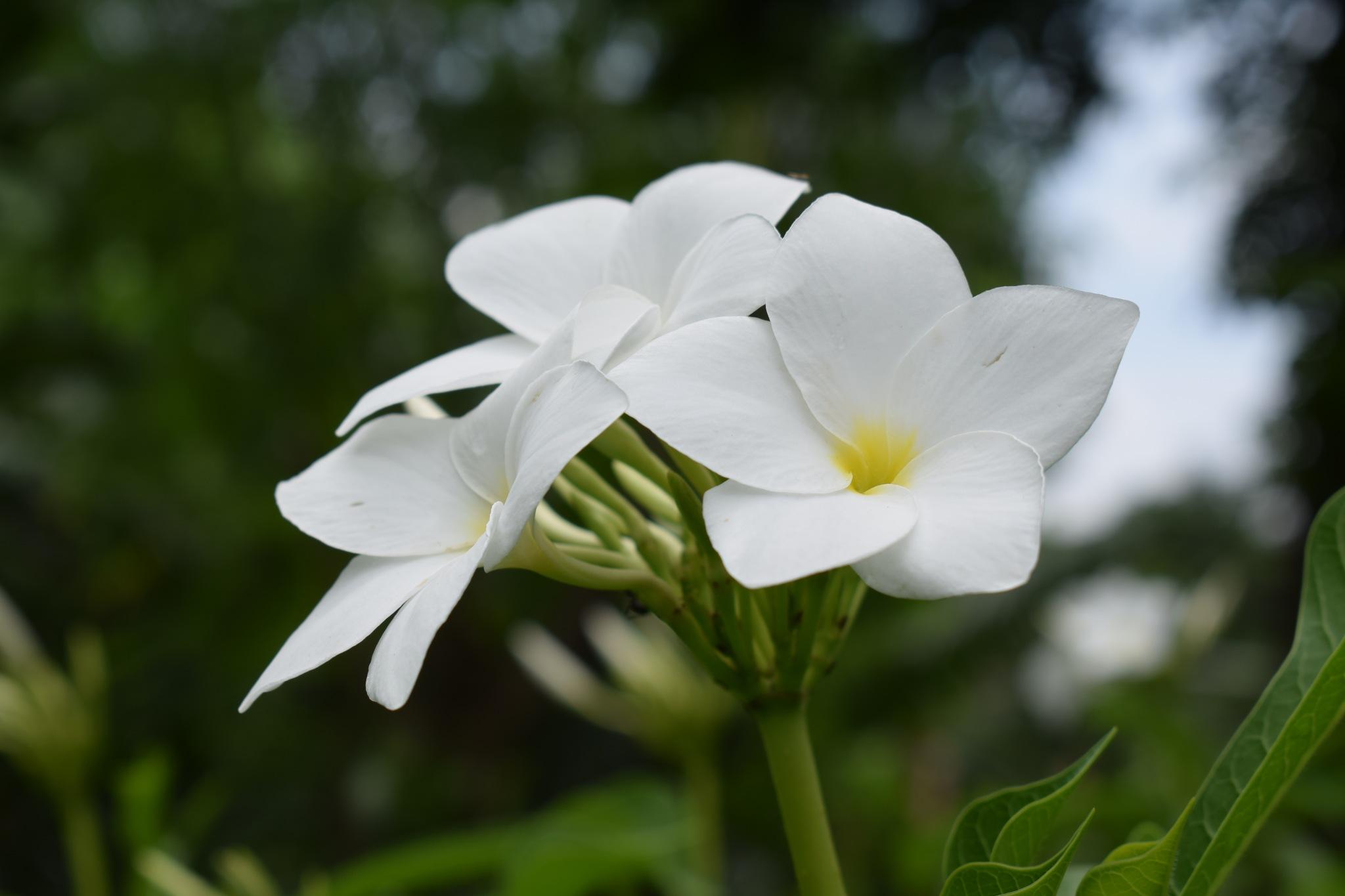 Flower of Bangladesh  by Mohammad Monir Hossain