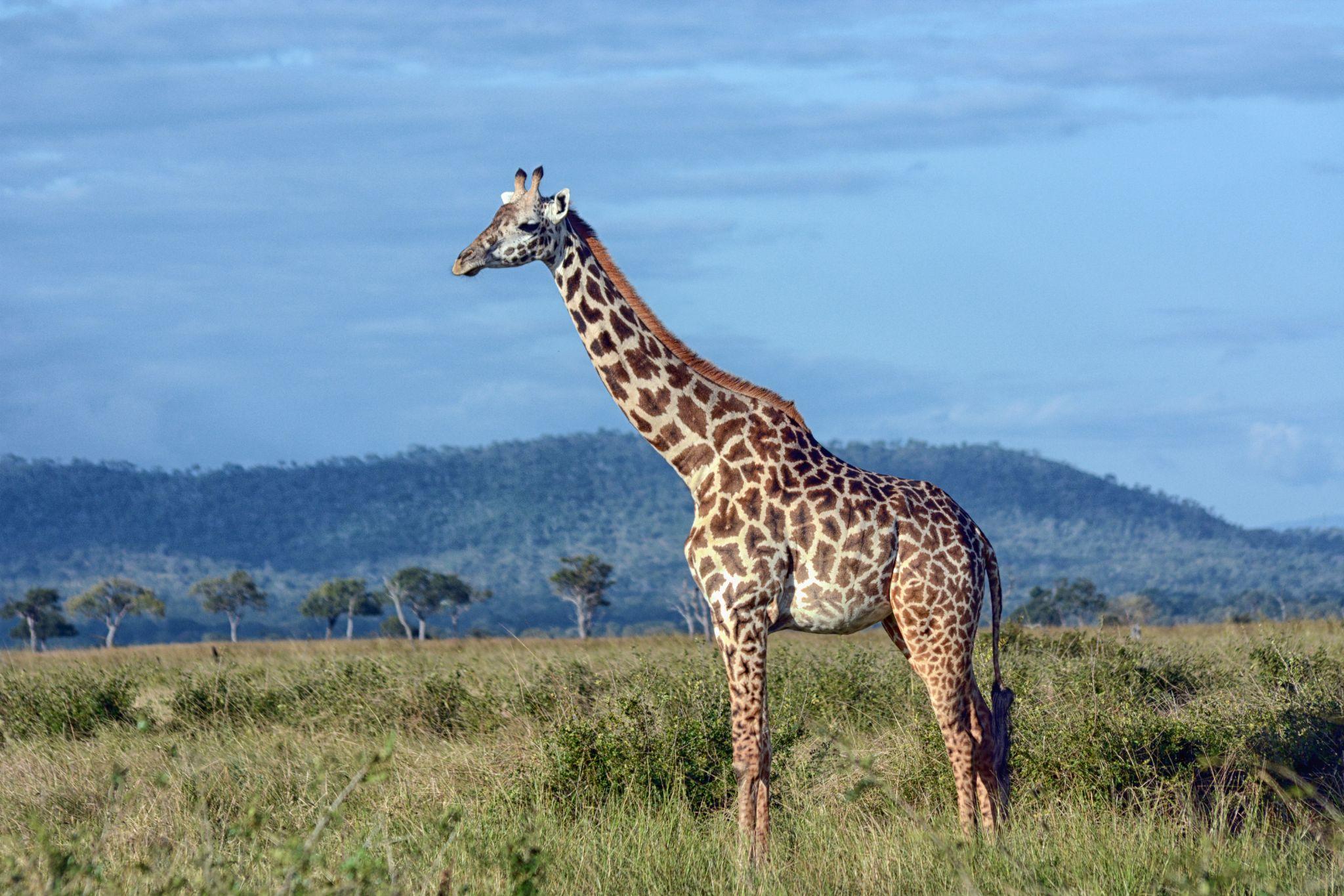 Giraffe in Mukumi National park, Tanzania by Hakan Leblebicioglu