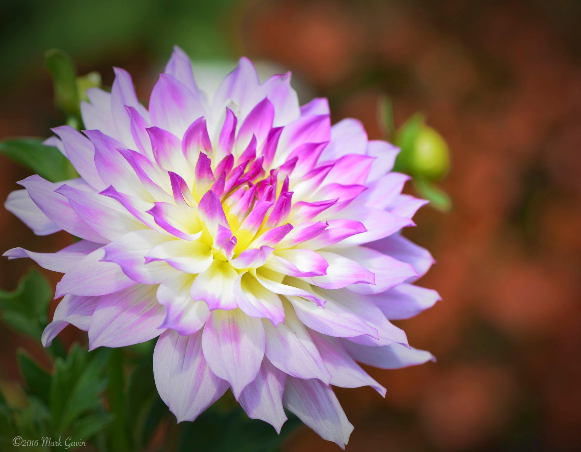 Yellow and Purple Chrysanthemum by Mark Gavin