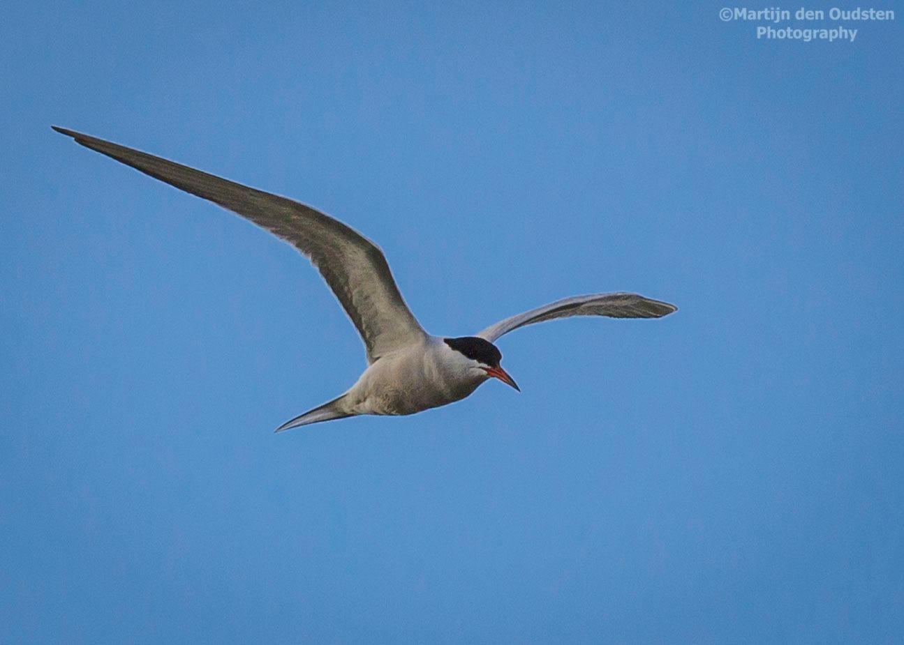 common tern by Martijn Den Oudsten