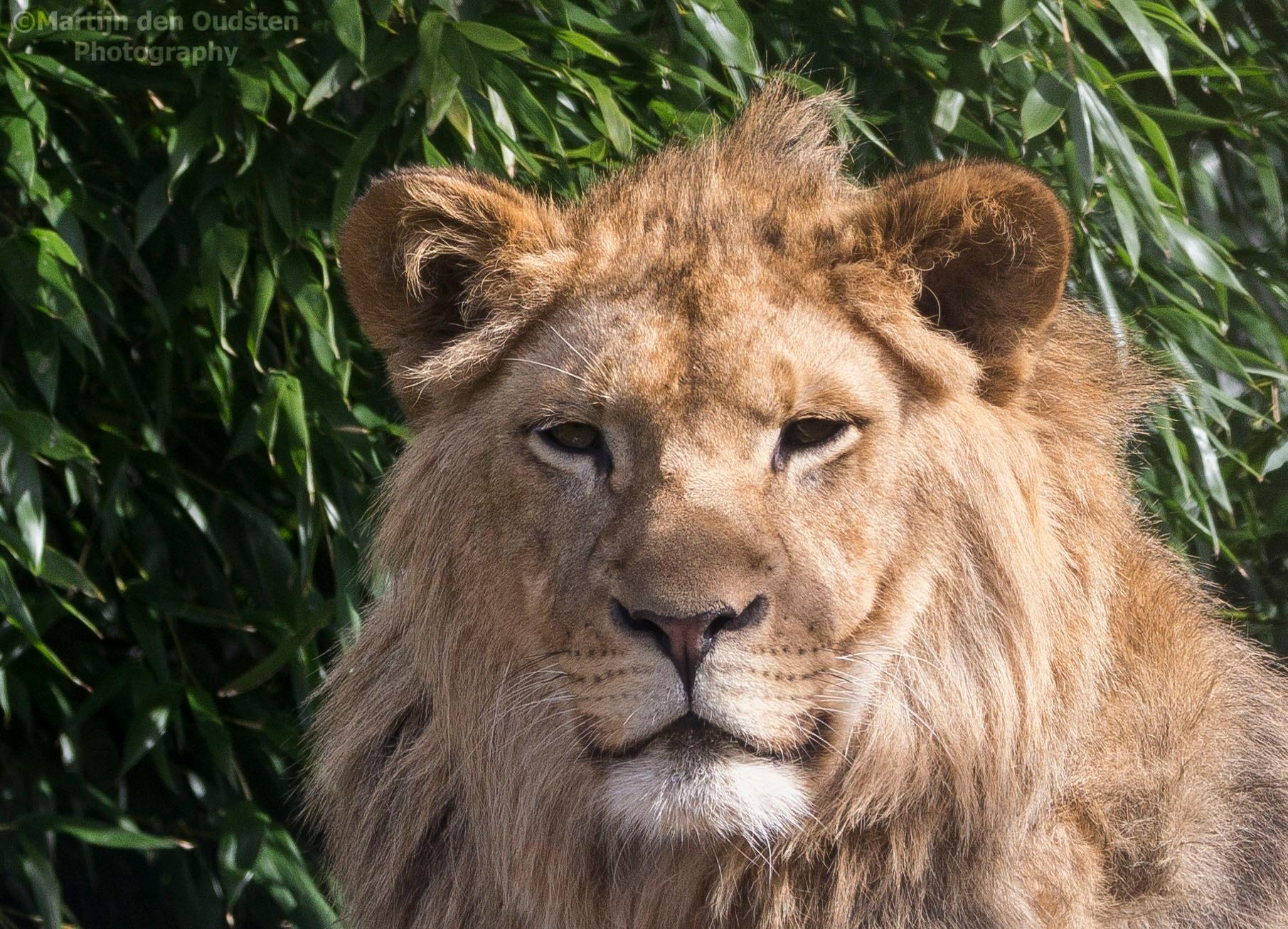 Lion cub by Martijn Den Oudsten