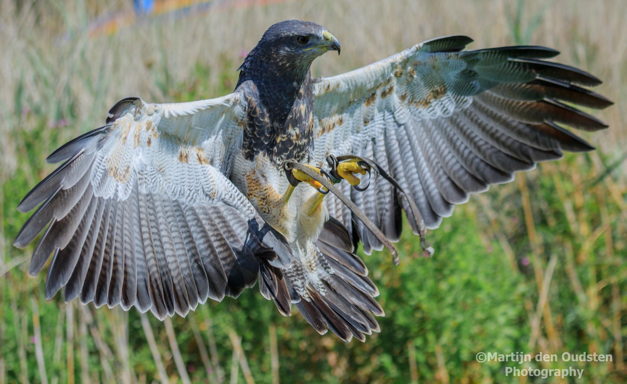 Bird of prey by Martijn Den Oudsten