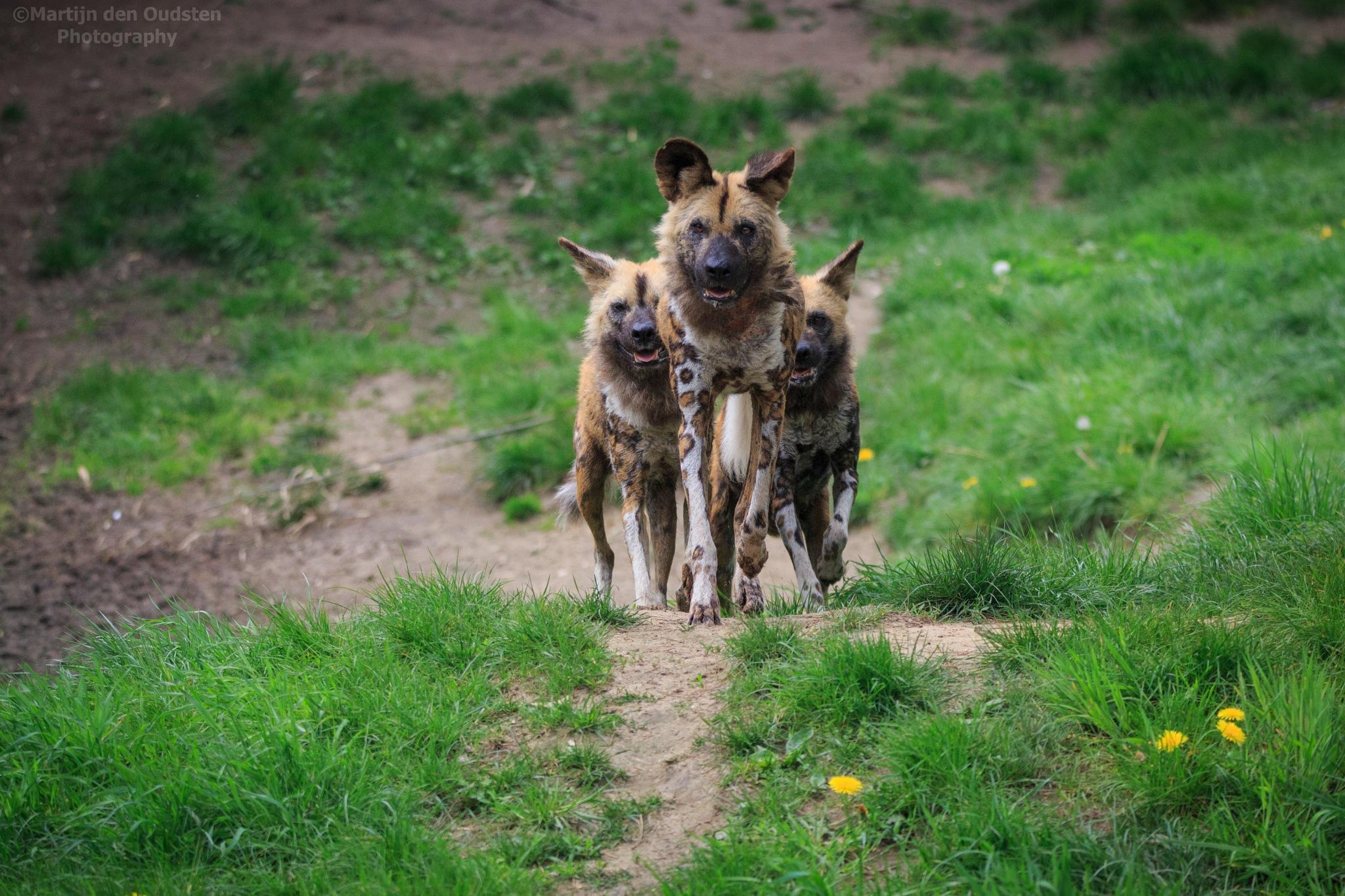 African wild dogs by Martijn Den Oudsten