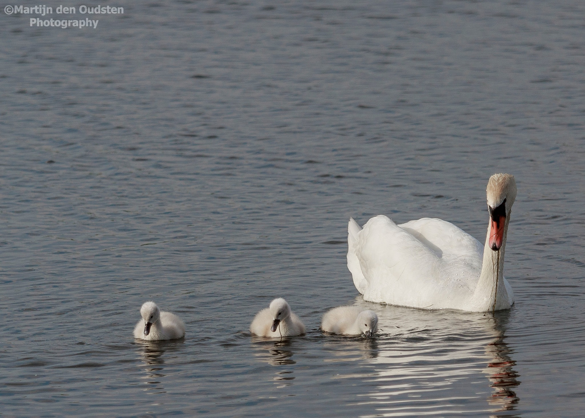 Swan and her young childs by Martijn Den Oudsten