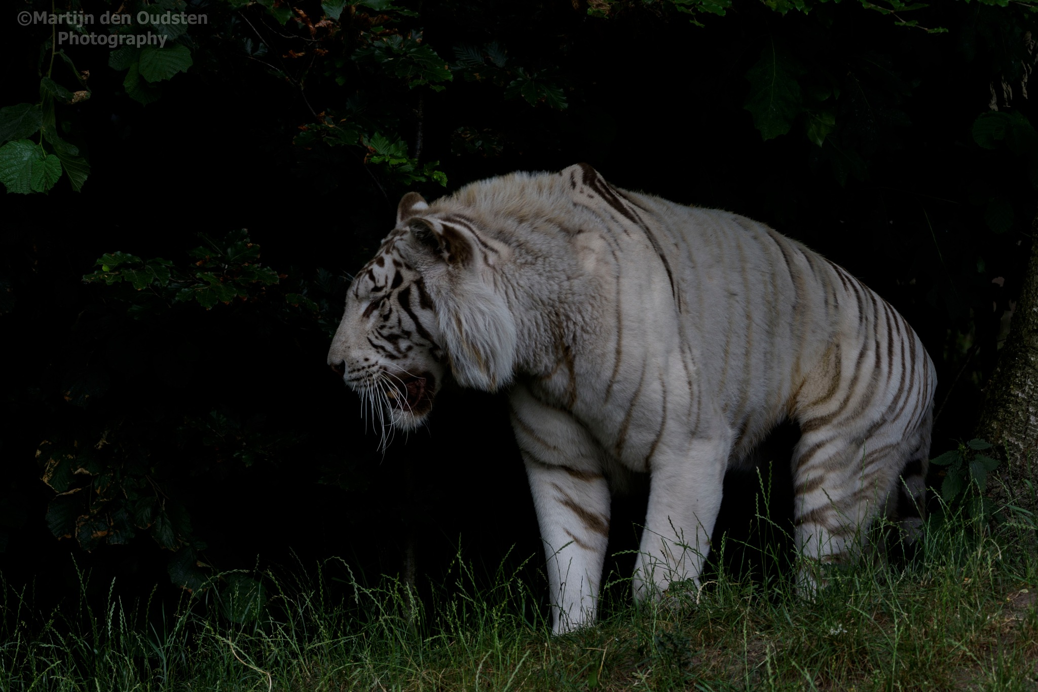 White tiger by Martijn Den Oudsten