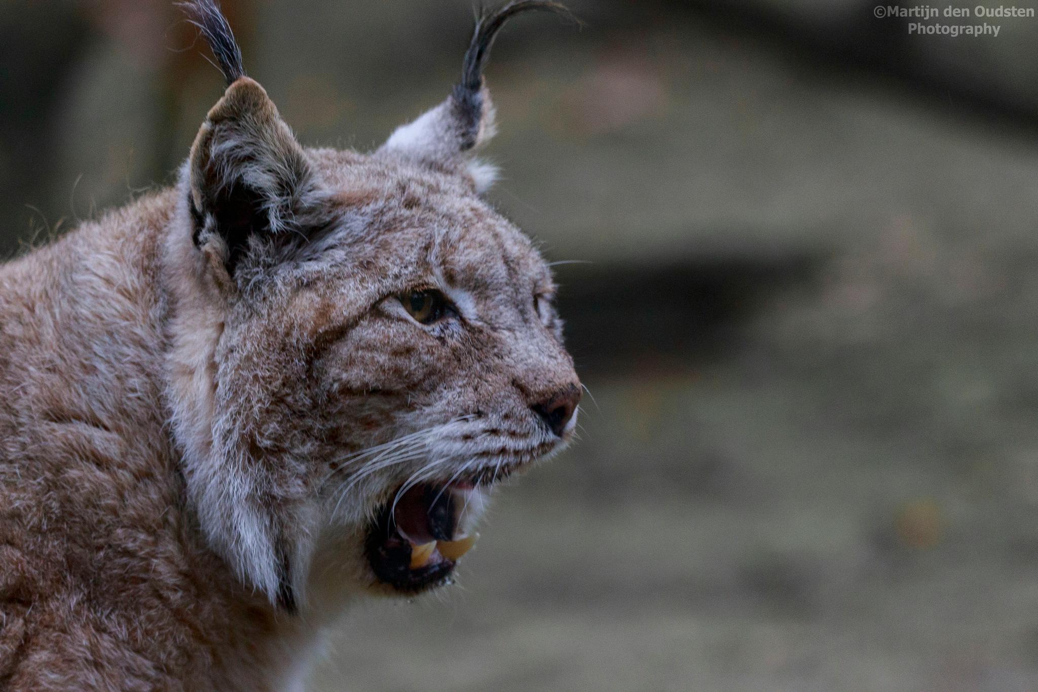 Lynx by Martijn Den Oudsten