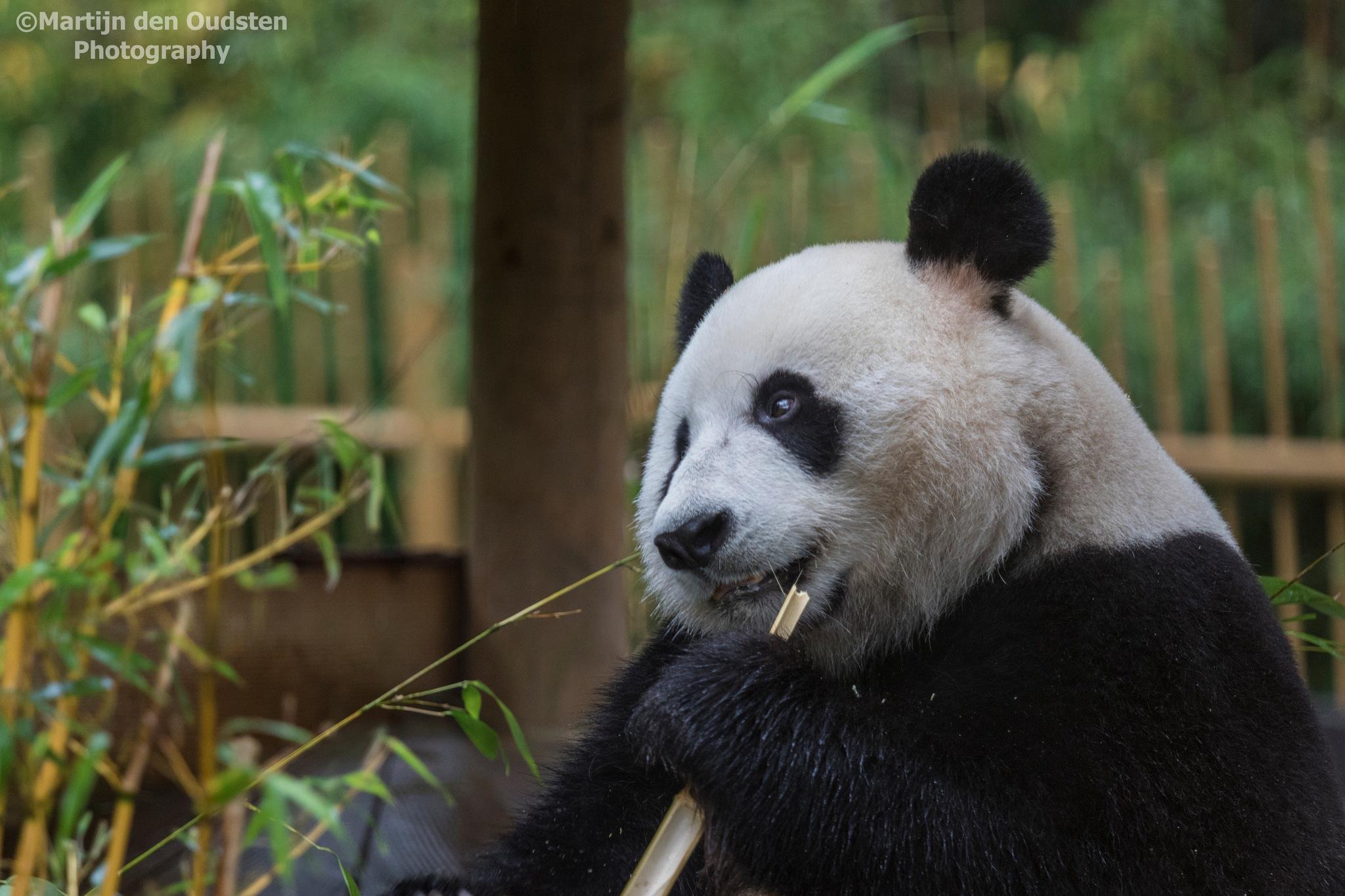 Panda enjoyning her bamboo by Martijn Den Oudsten