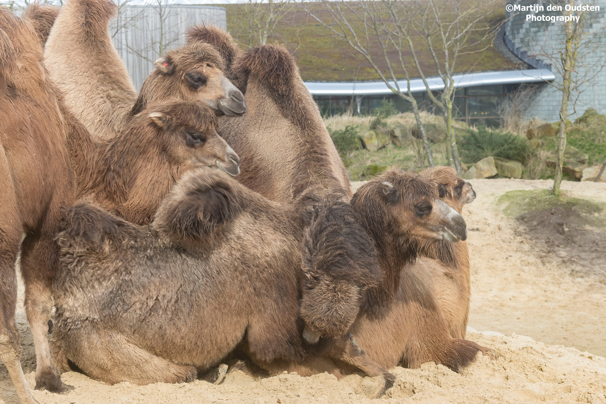 Camels by Martijn Den Oudsten
