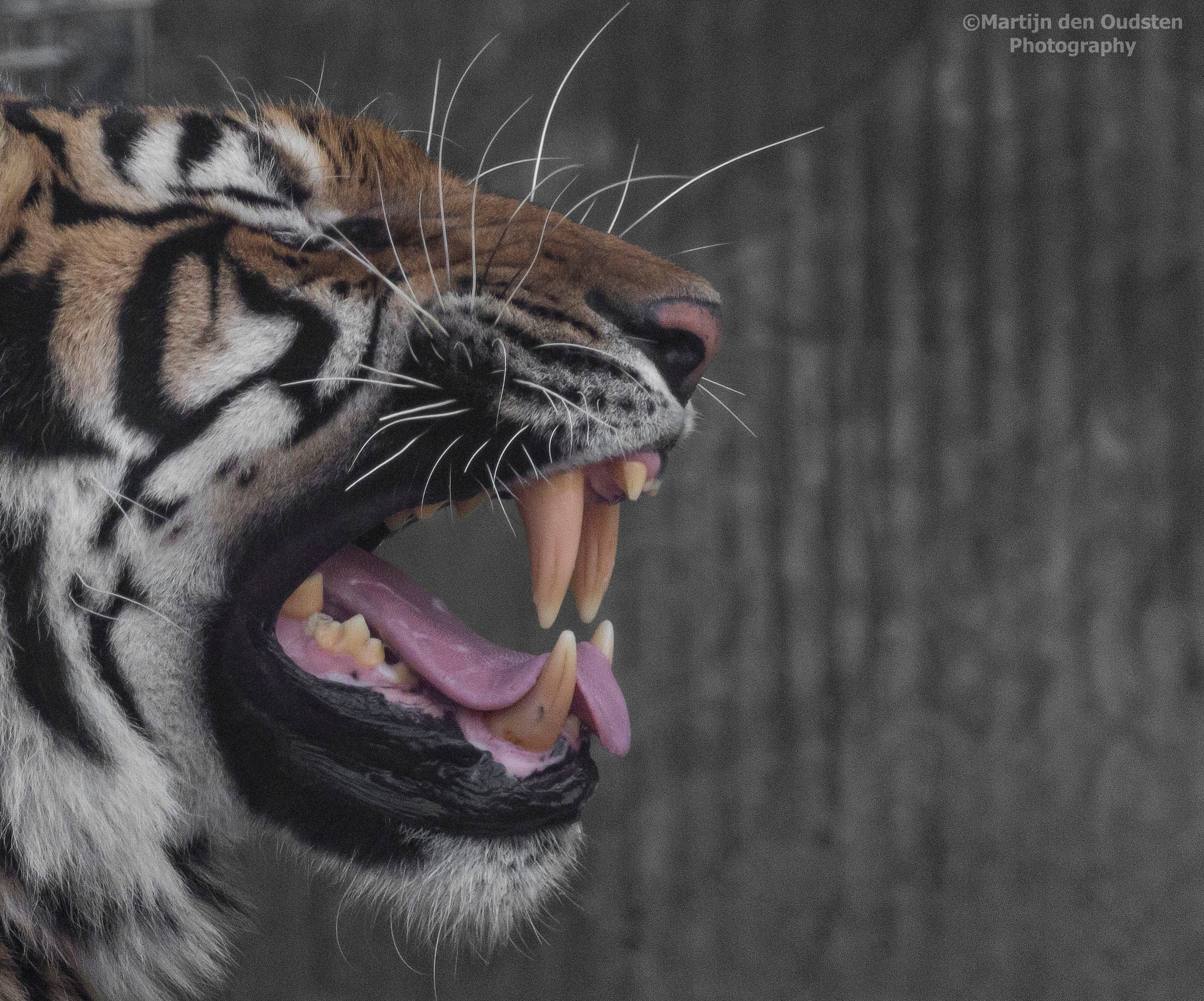 Tiger by Martijn Den Oudsten
