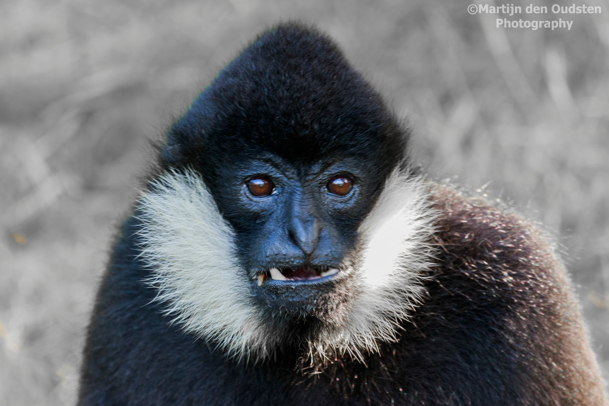 Monkey (don't know the specific name) by Martijn Den Oudsten