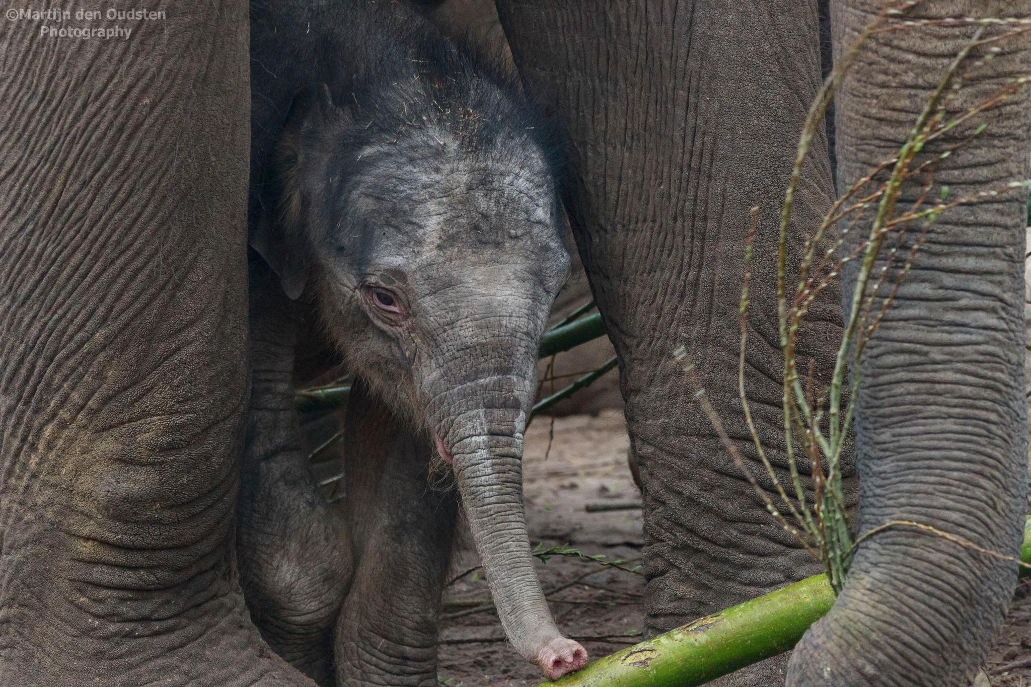 Elephant by Martijn Den Oudsten