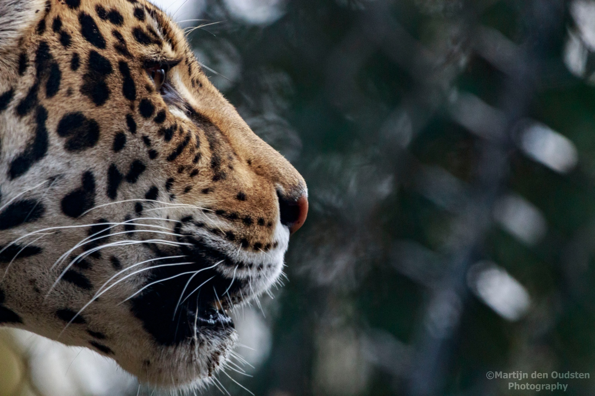 Jaguar by Martijn Den Oudsten