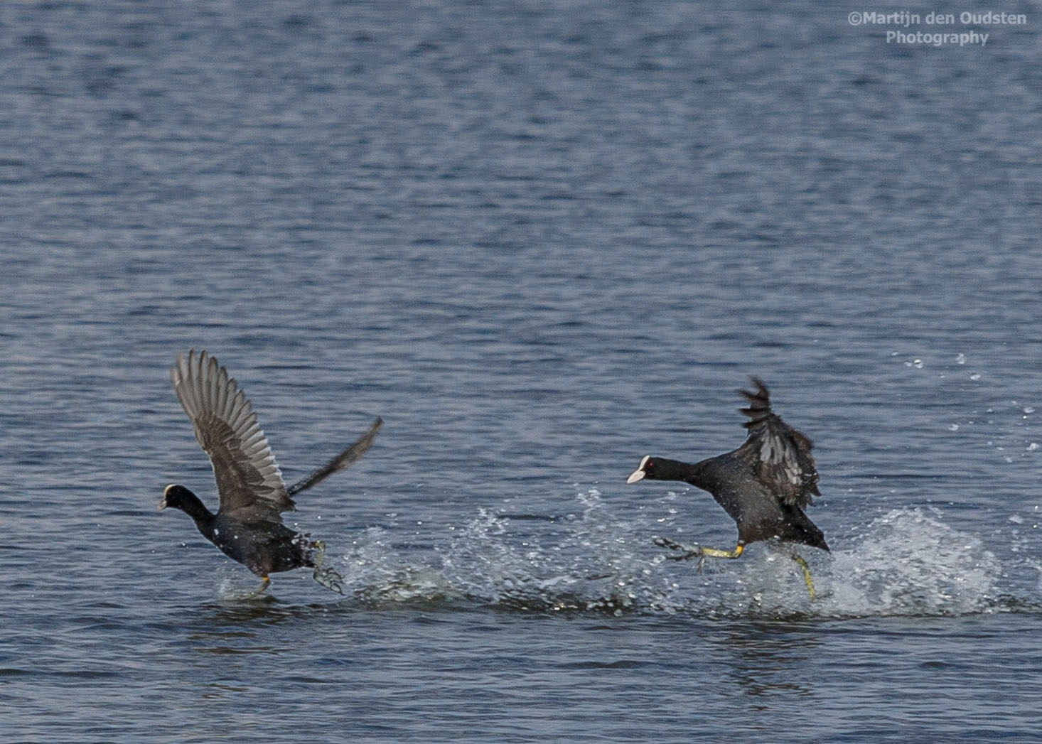 Coots on the chase by Martijn Den Oudsten