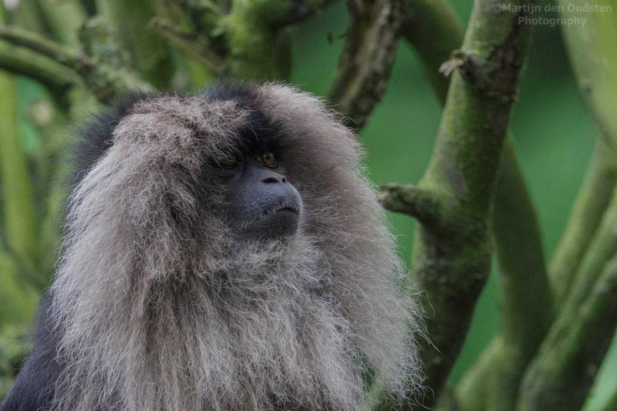 Lion-tailed macaque by Martijn Den Oudsten