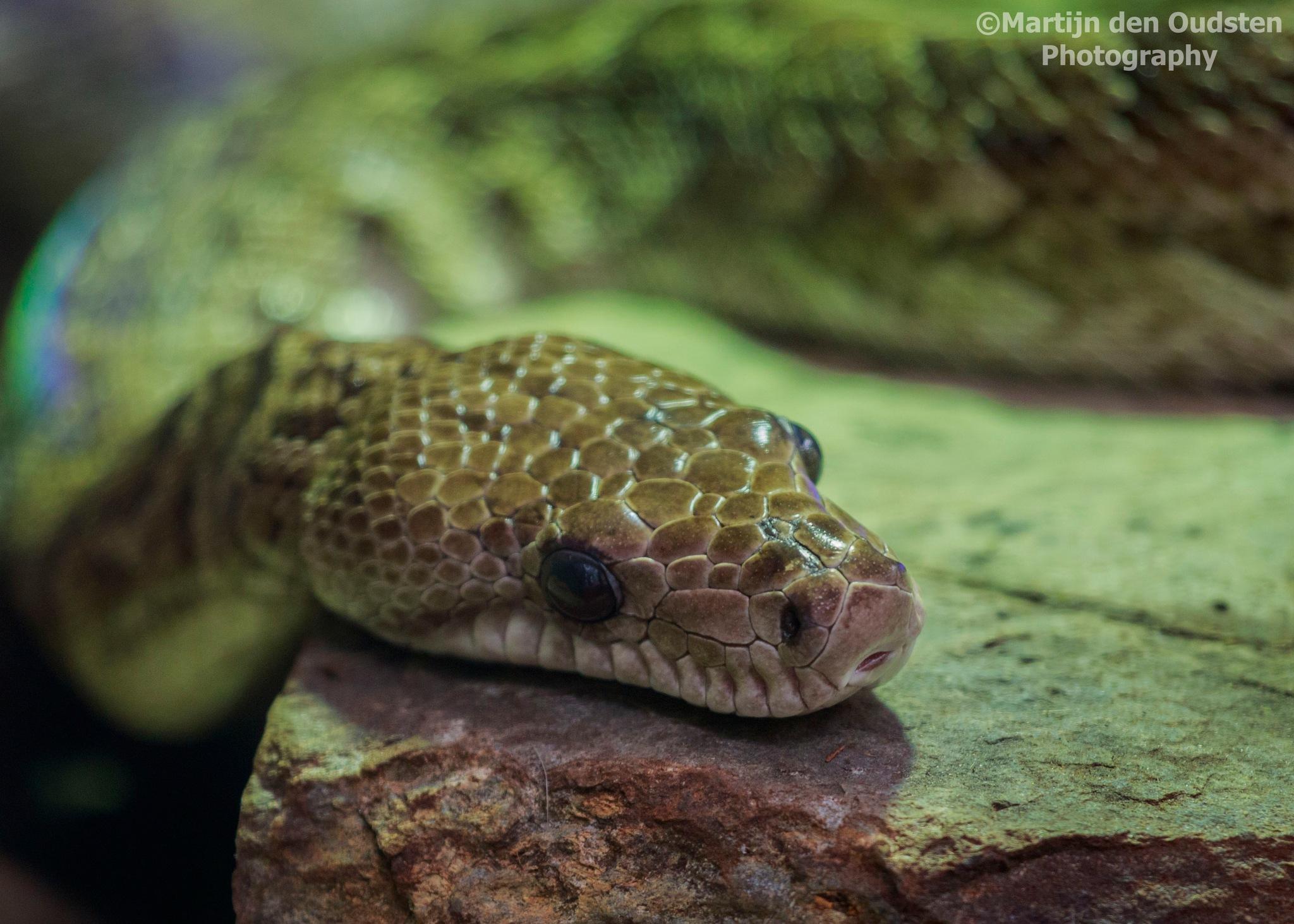 Snake by Martijn Den Oudsten