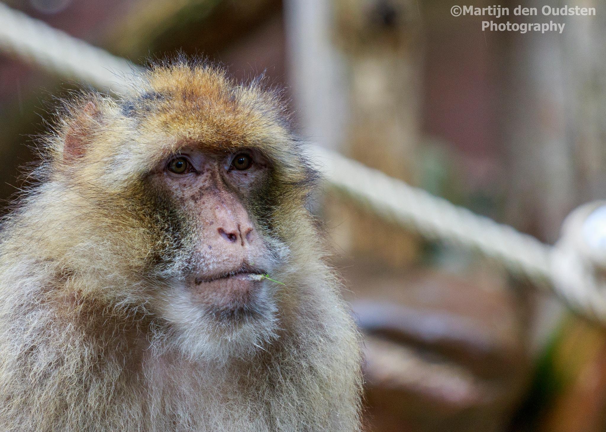 barbary macaque by Martijn Den Oudsten