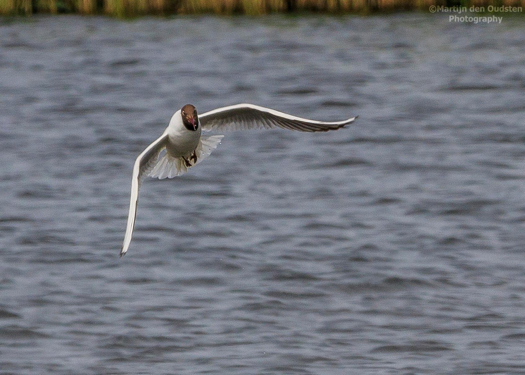 Gull by Martijn Den Oudsten