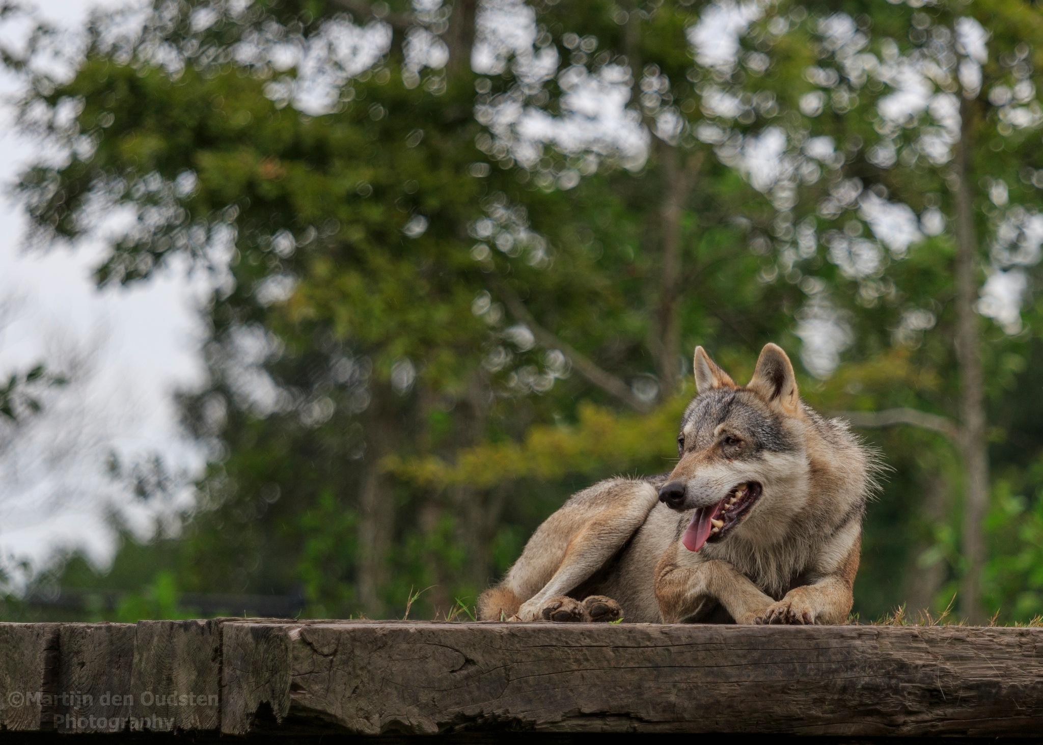 Wolf by Martijn Den Oudsten