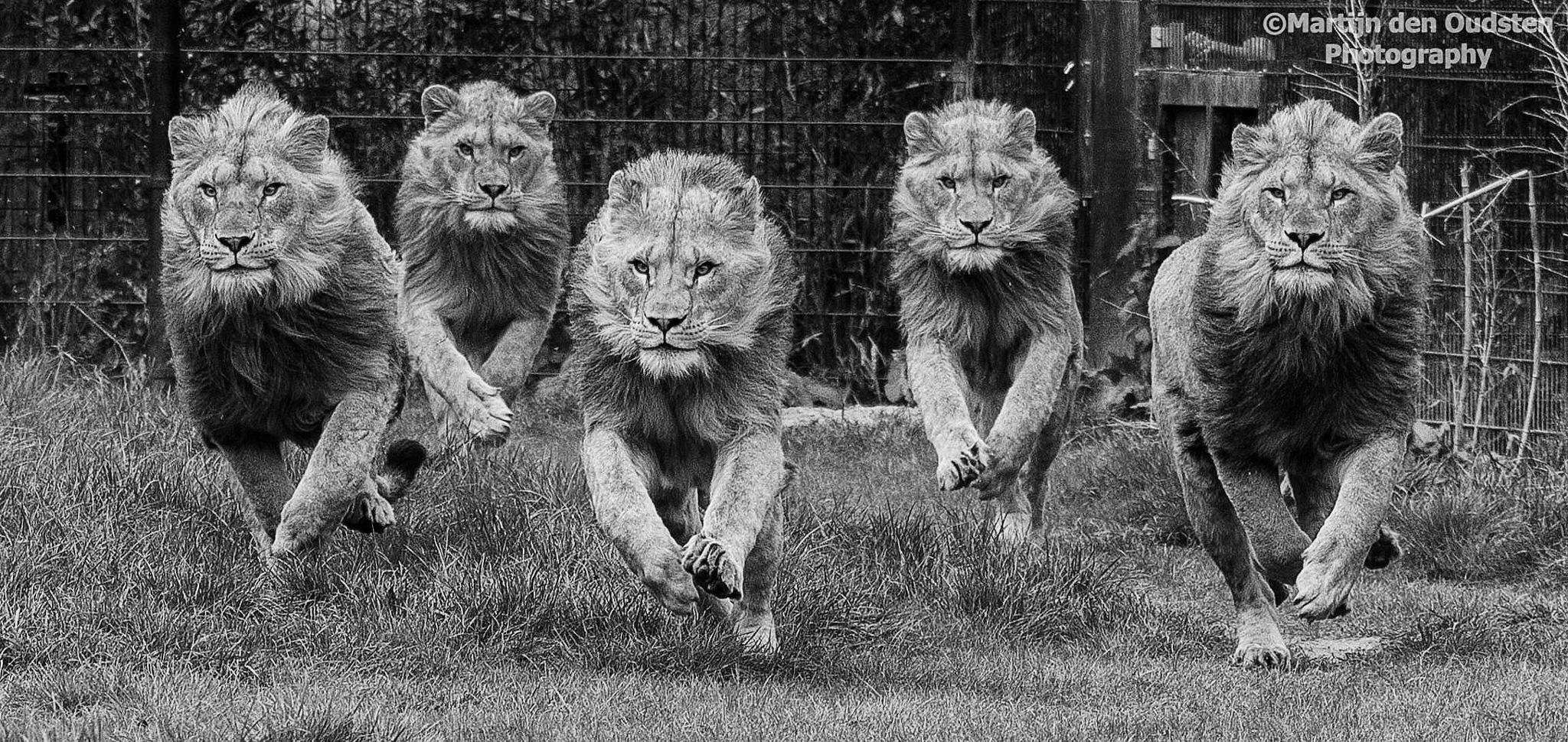 Lions  by Martijn Den Oudsten