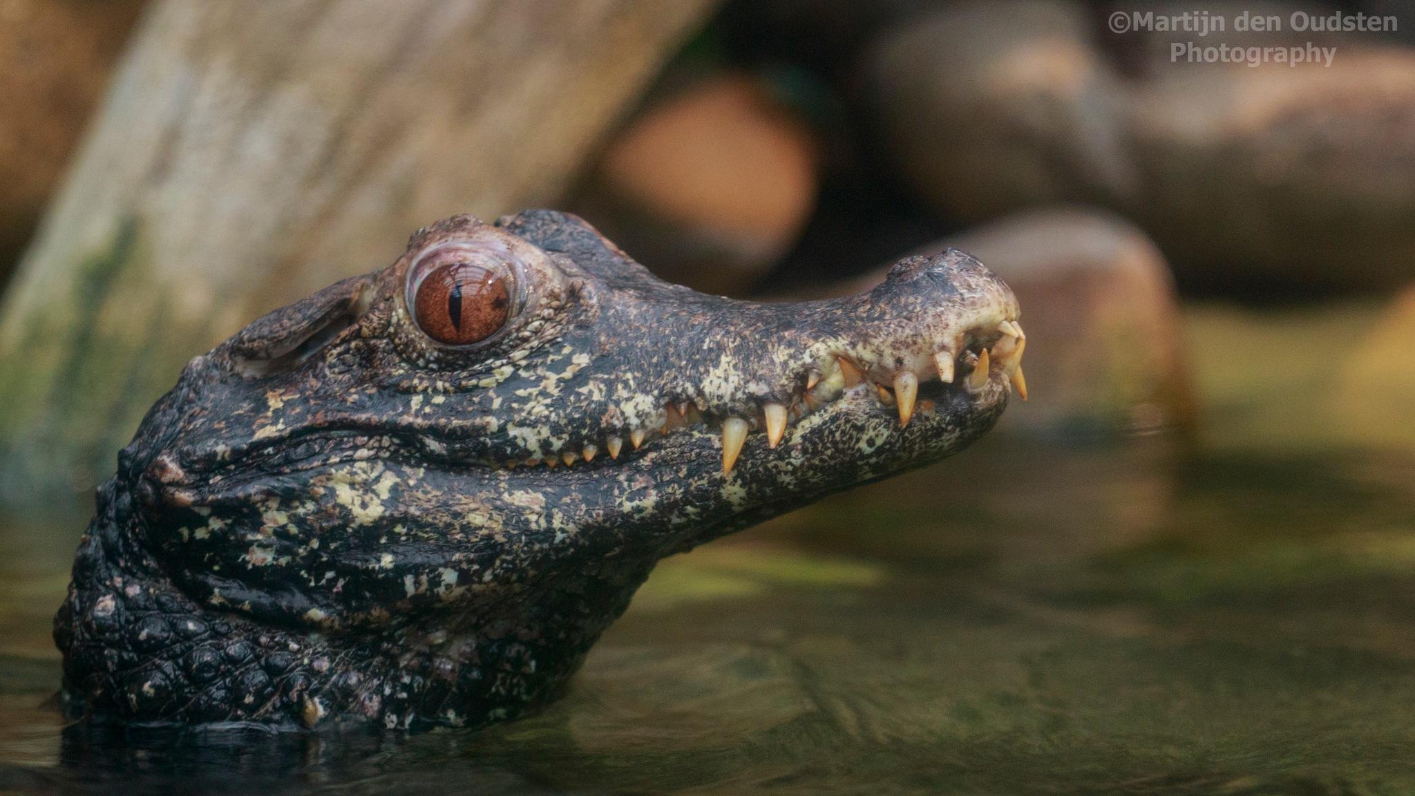 Aligator by Martijn Den Oudsten