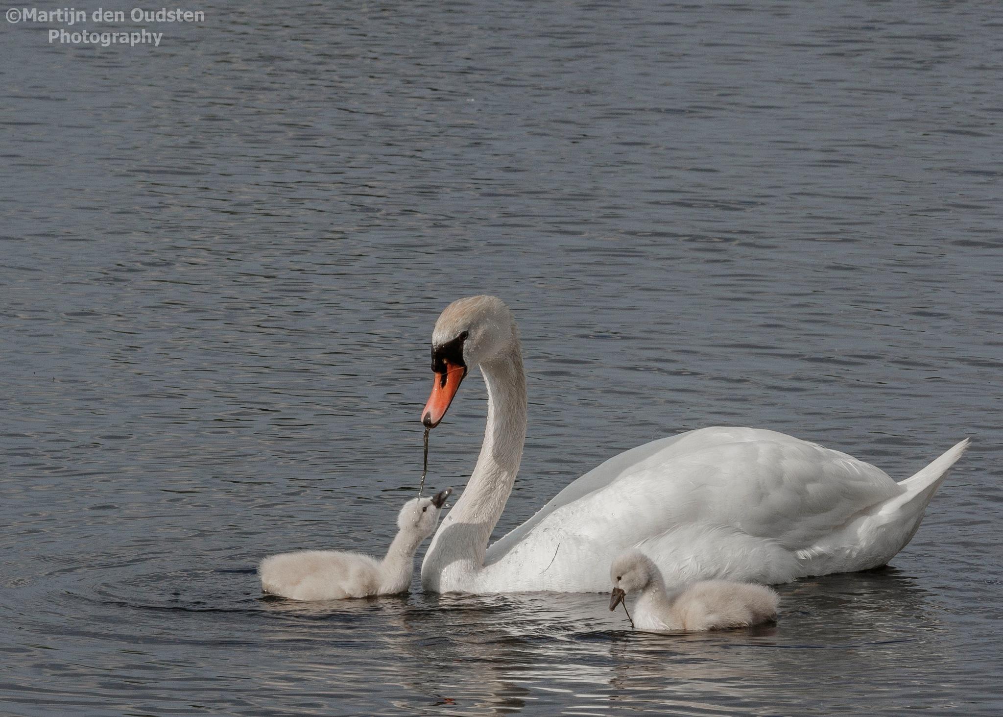 Swan by Martijn Den Oudsten