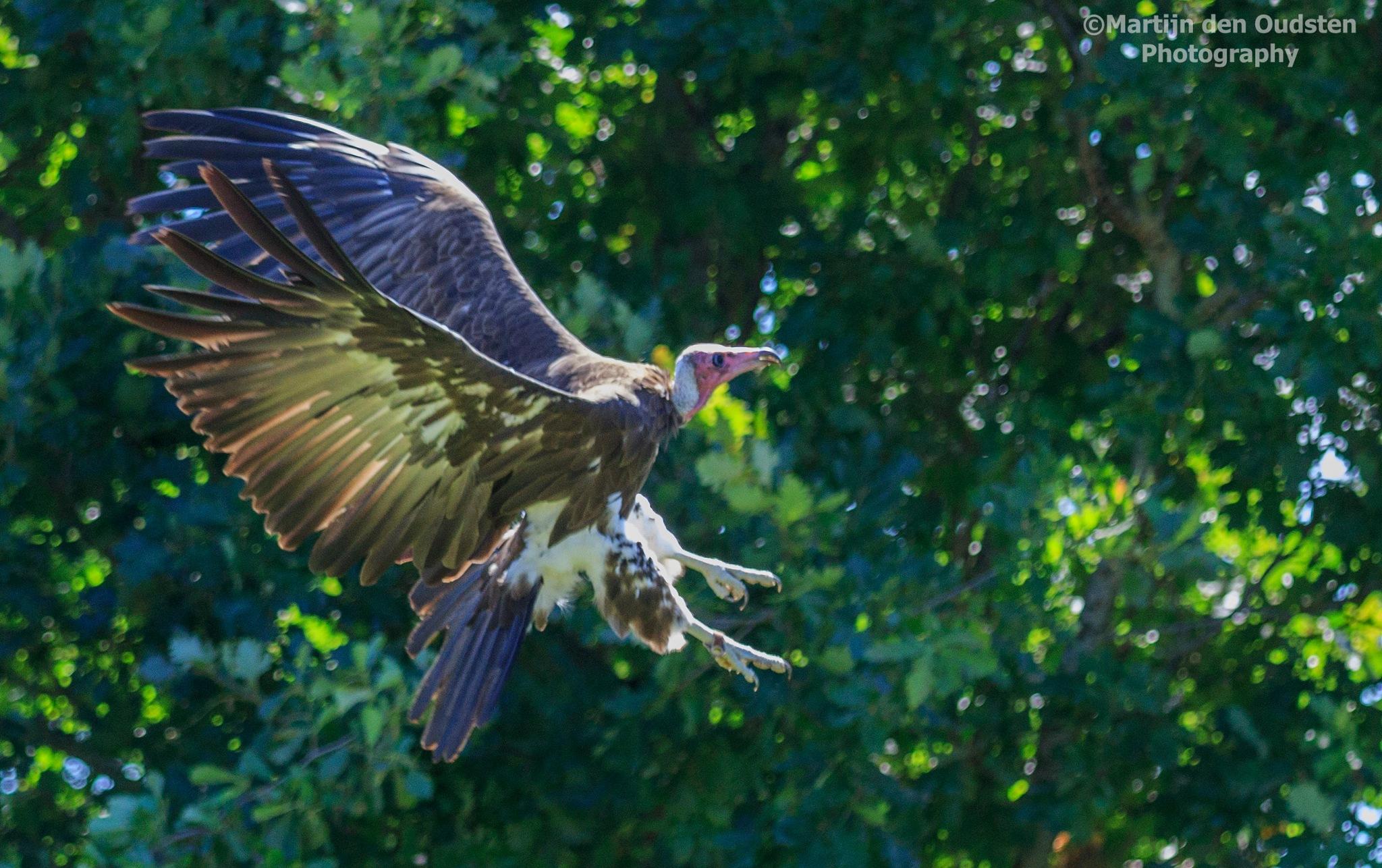 Vulture by Martijn Den Oudsten