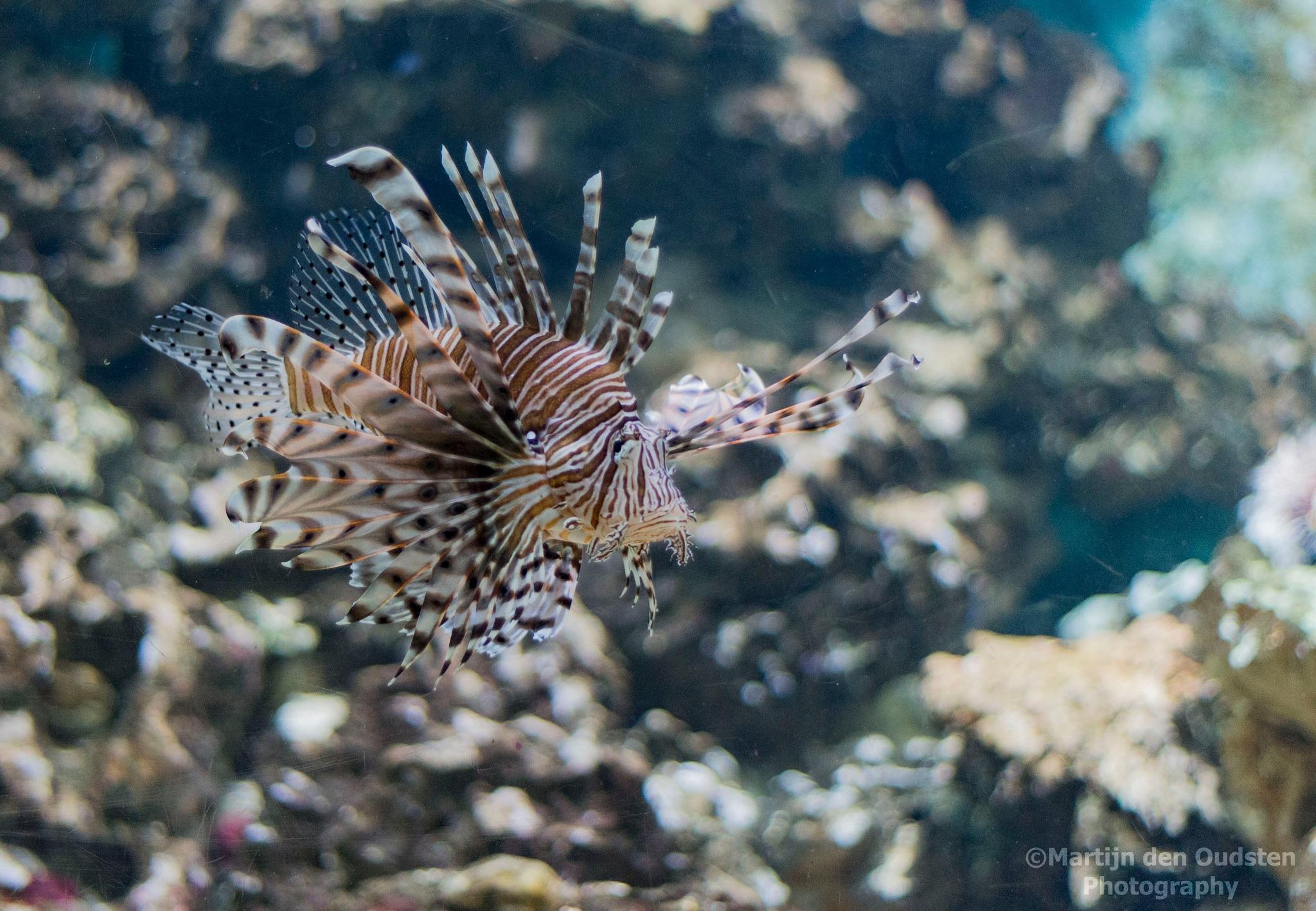 Lionfish by Martijn Den Oudsten