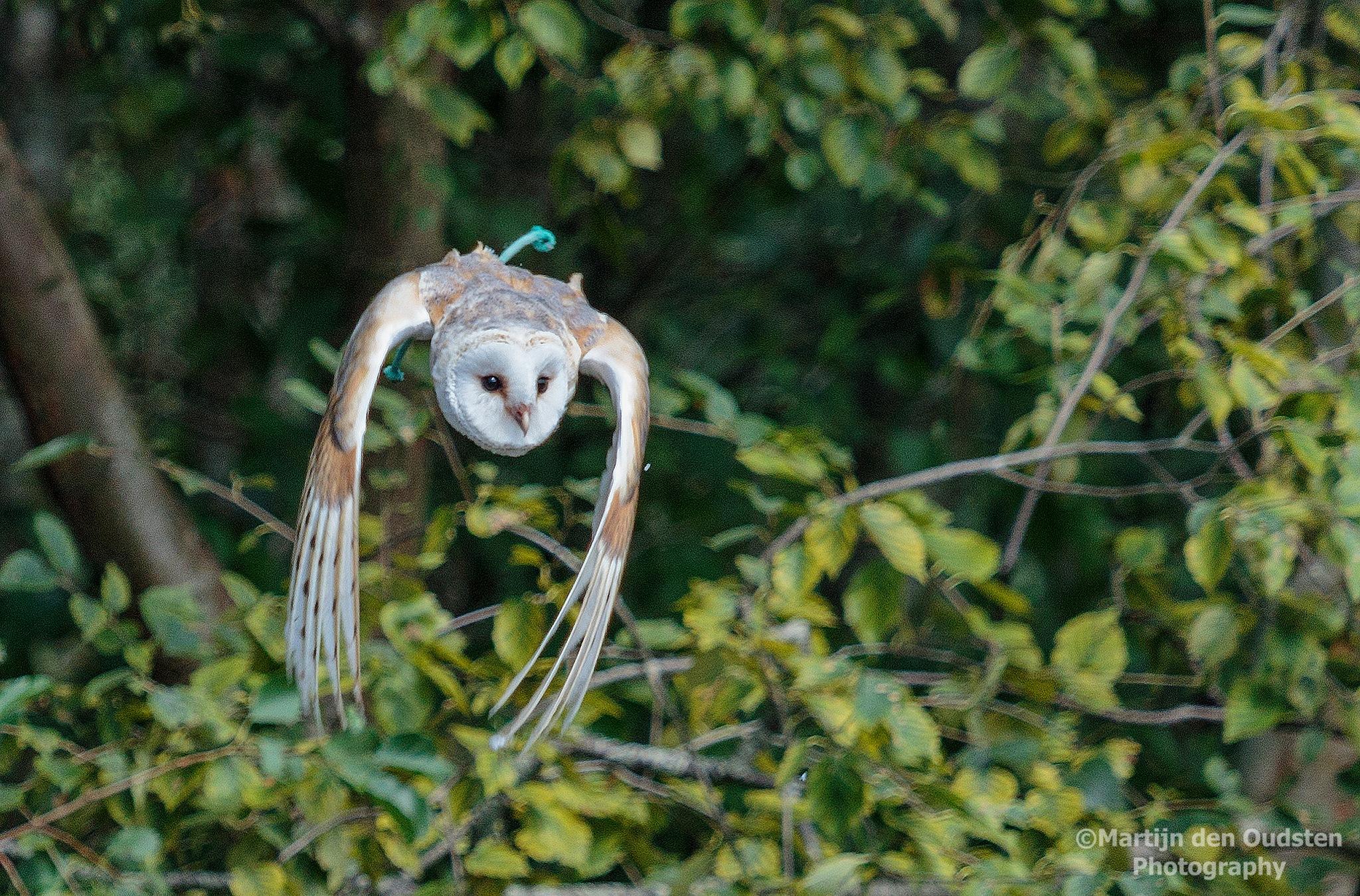 Owl by Martijn Den Oudsten