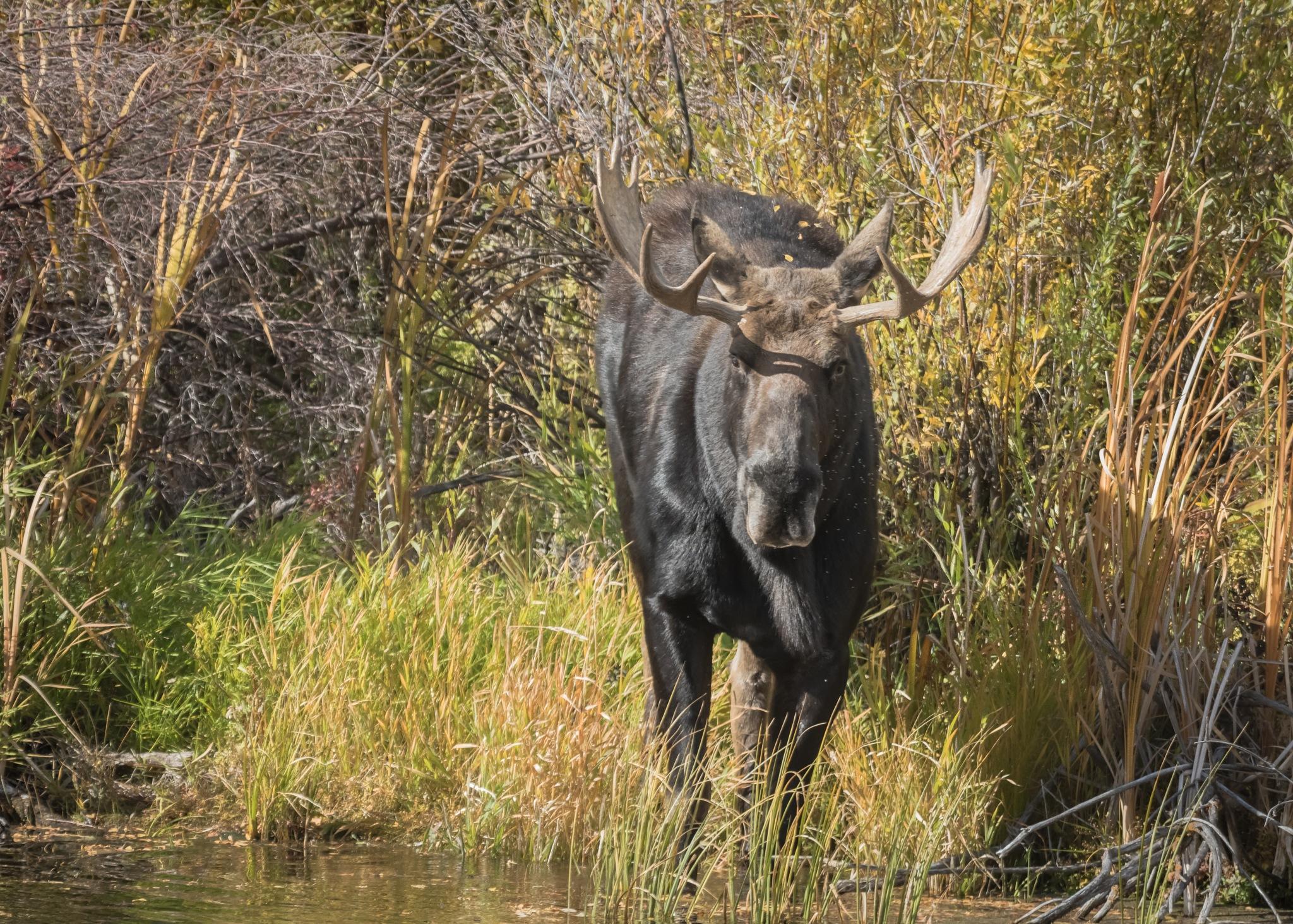 Idaho's  Wild Moose!! Wildlife photography. by Flaviu R.G.