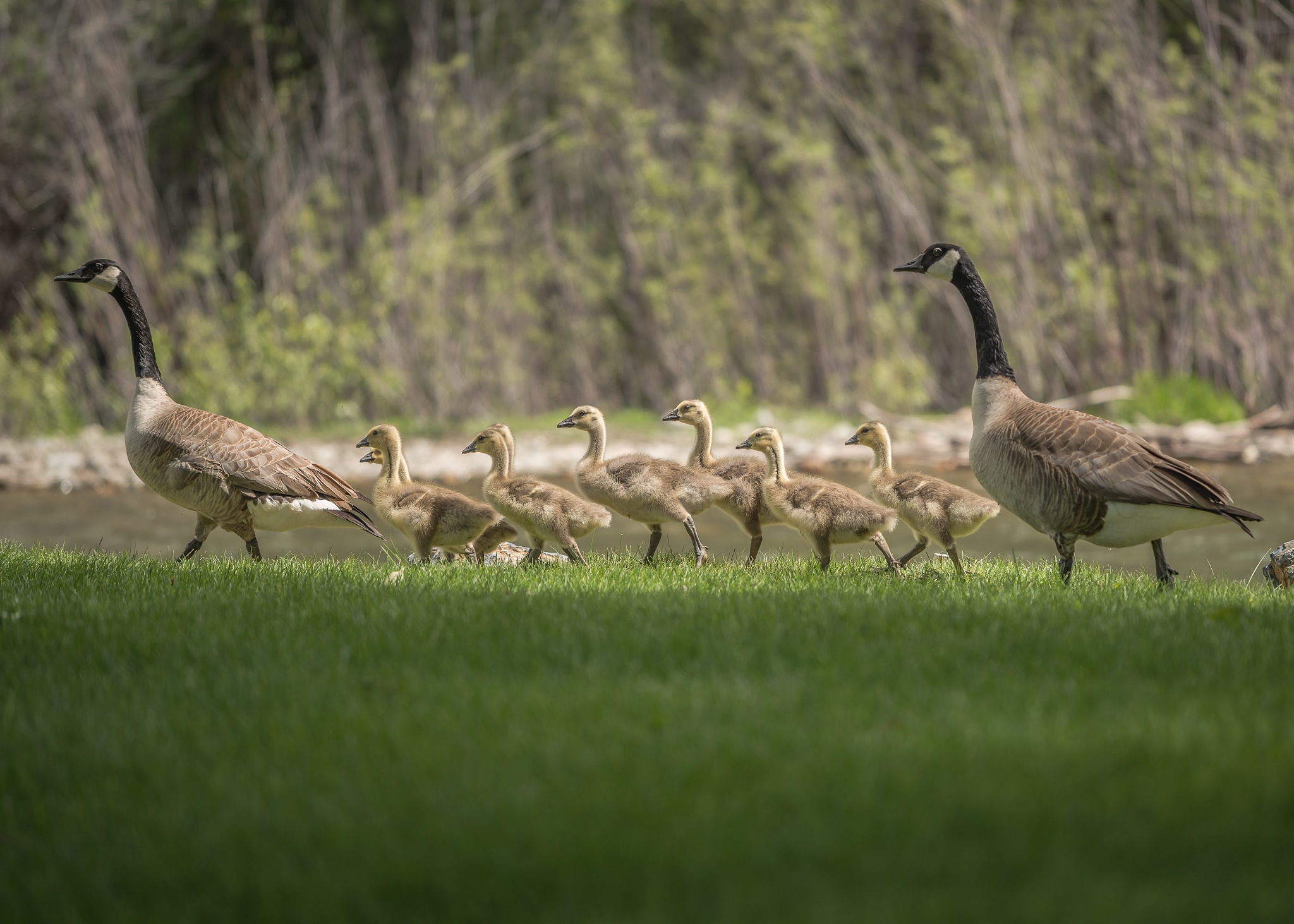 """Canadian geese with babies""!! Wildlife photography. by Flaviu R.G."