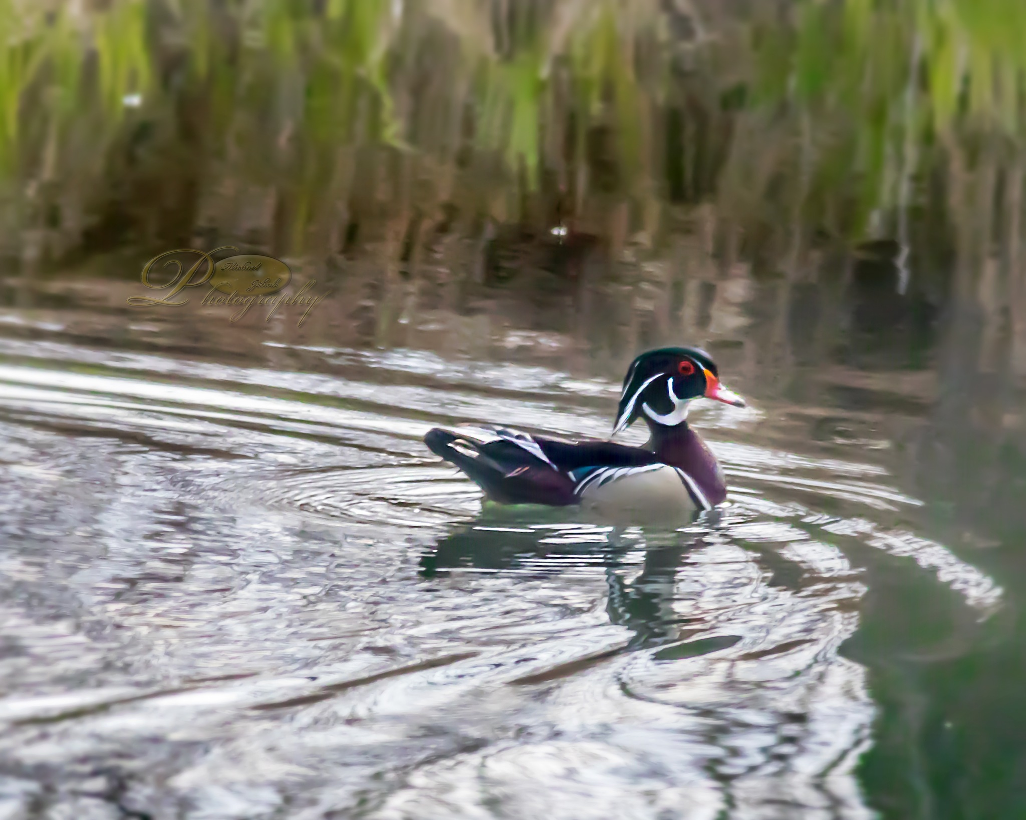 Spring Wood Duck by Michael Johnk