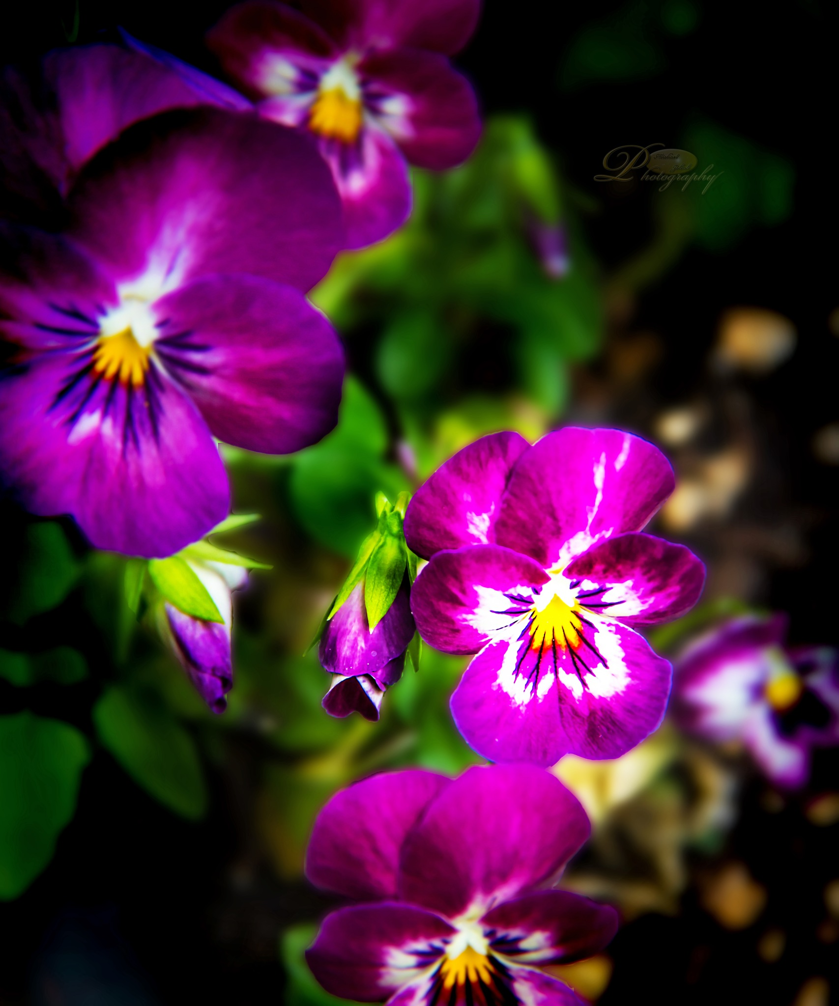 Oh, Pansies! by Michael Johnk