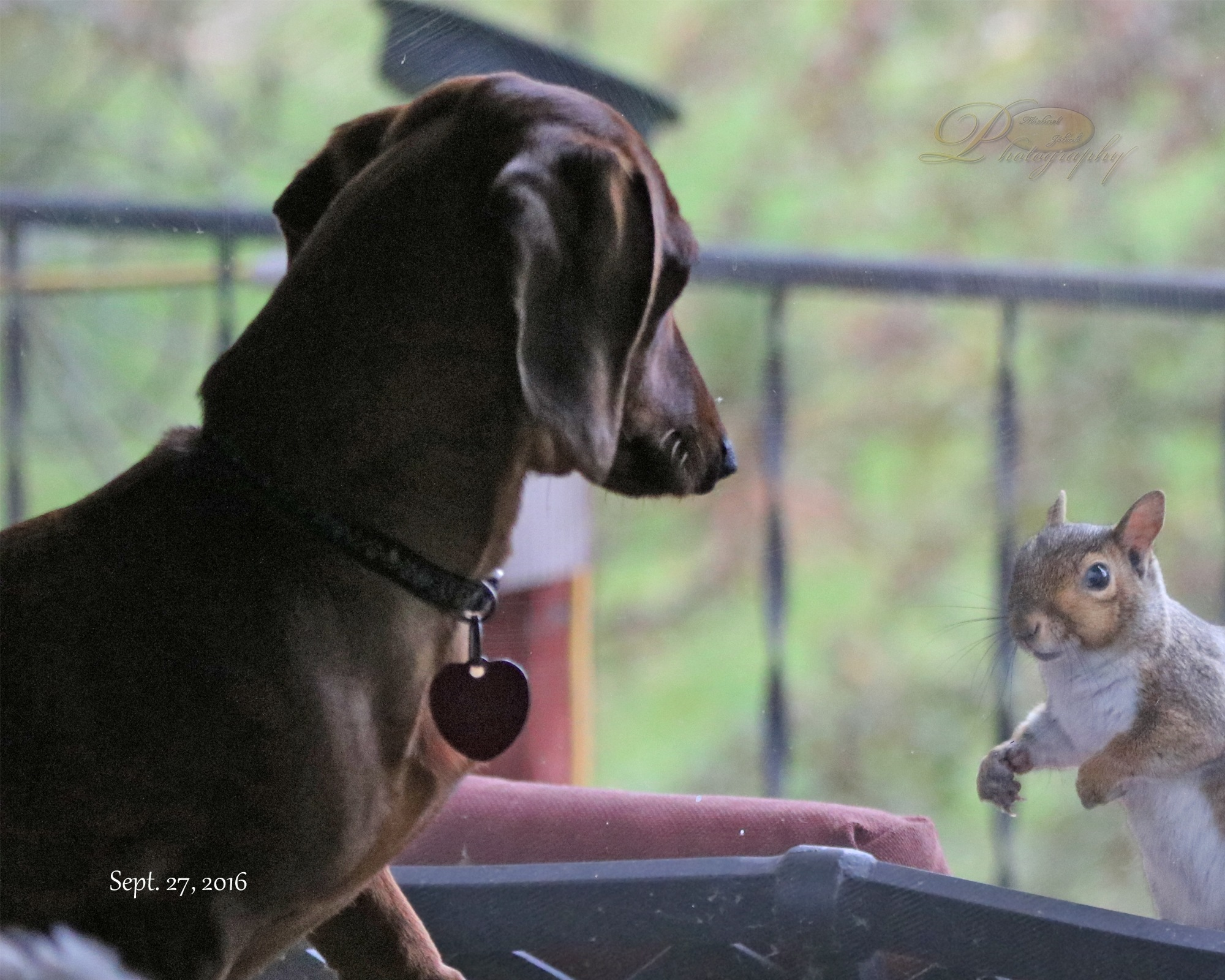 Doxie and Squirrel by Michael Johnk
