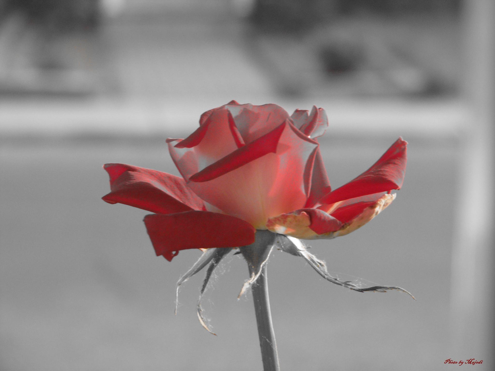 A Rose  by Majodi