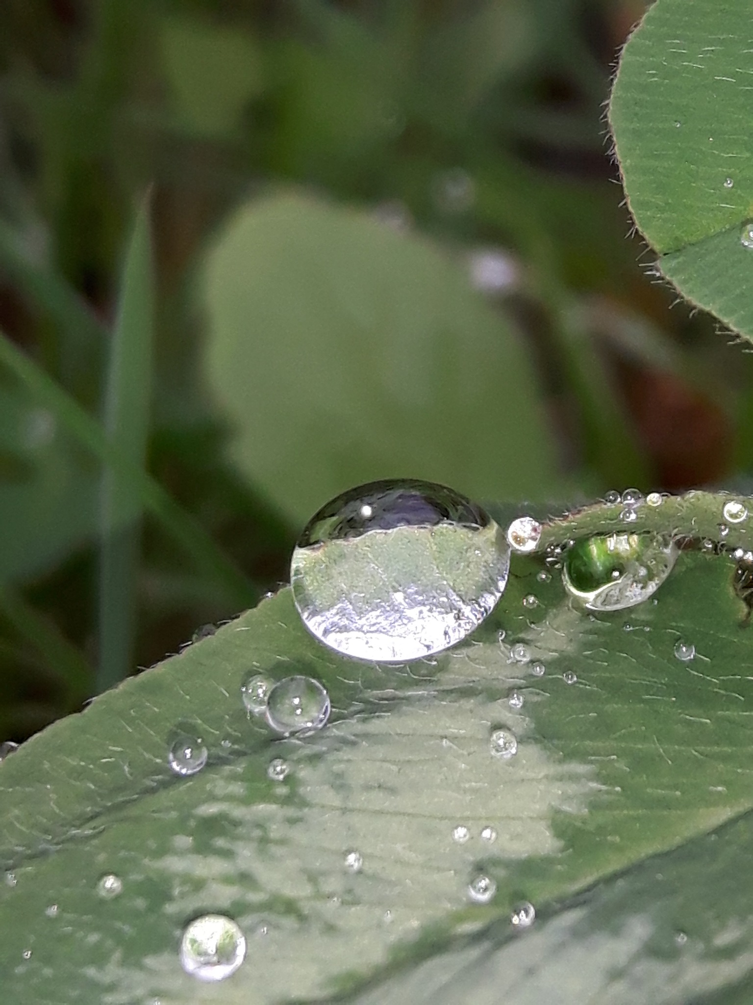 Drops on the clover leaf by Mevludin_Hasanovic