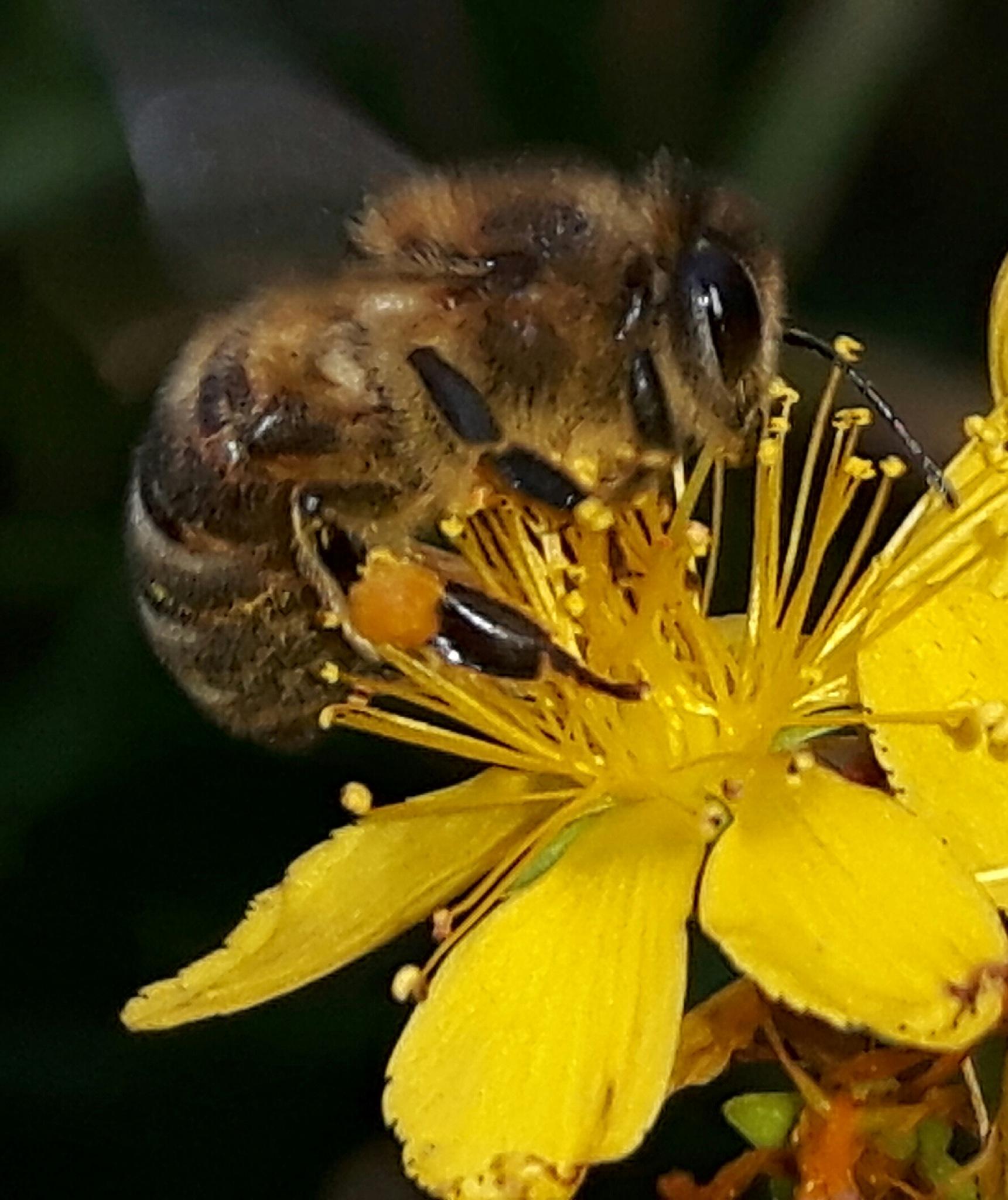 Beautiful bee on beautiful yellow flower by Mevludin_Hasanovic