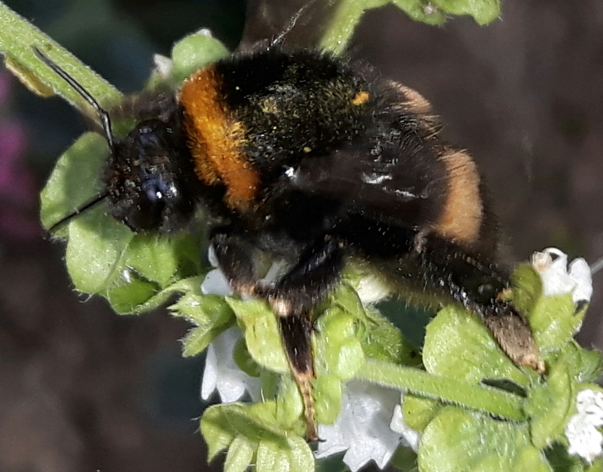 Bumble bee by Mevludin_Hasanovic