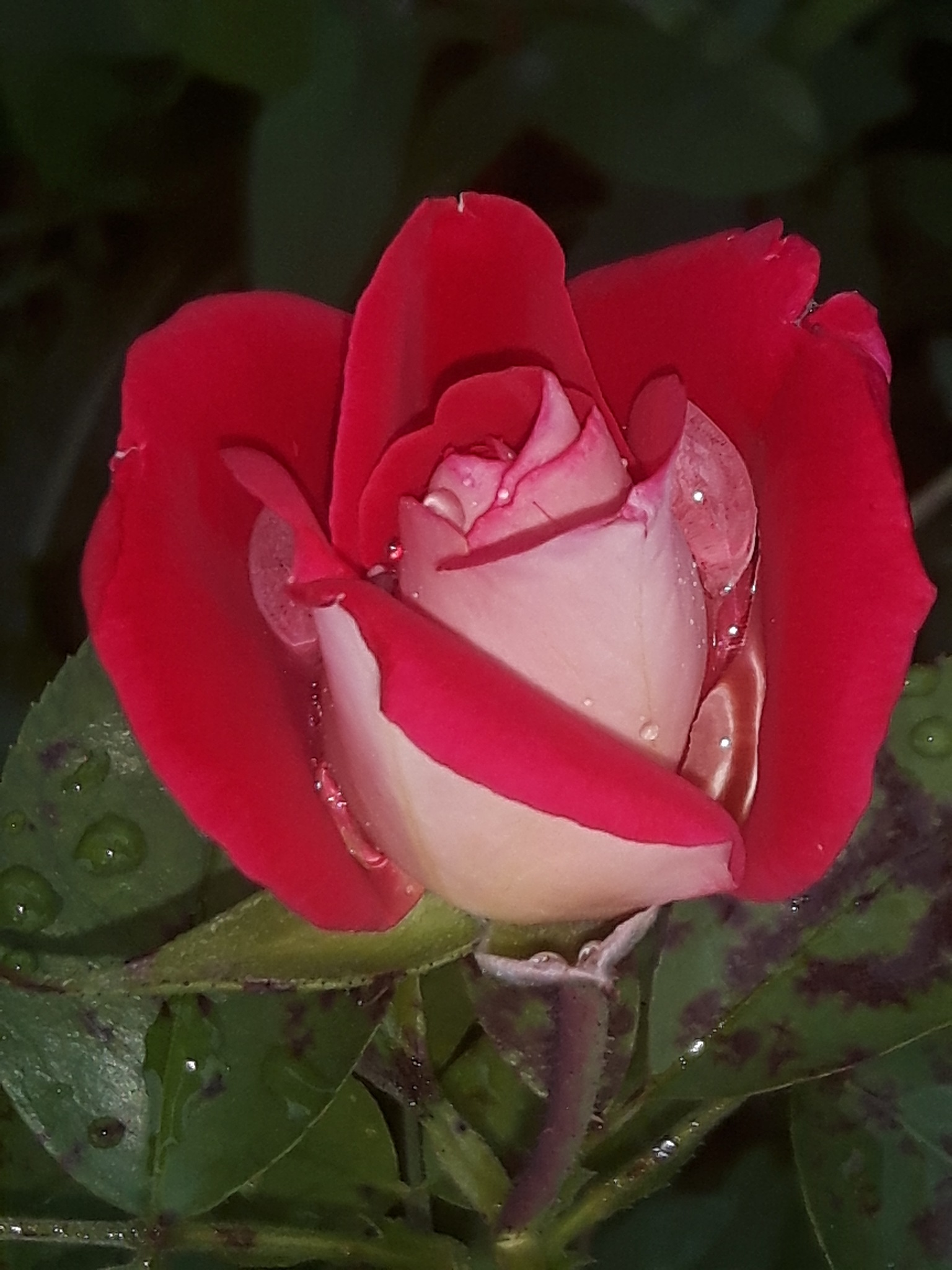 A beautiful rose with clear rain drops inside by Mevludin_Hasanovic