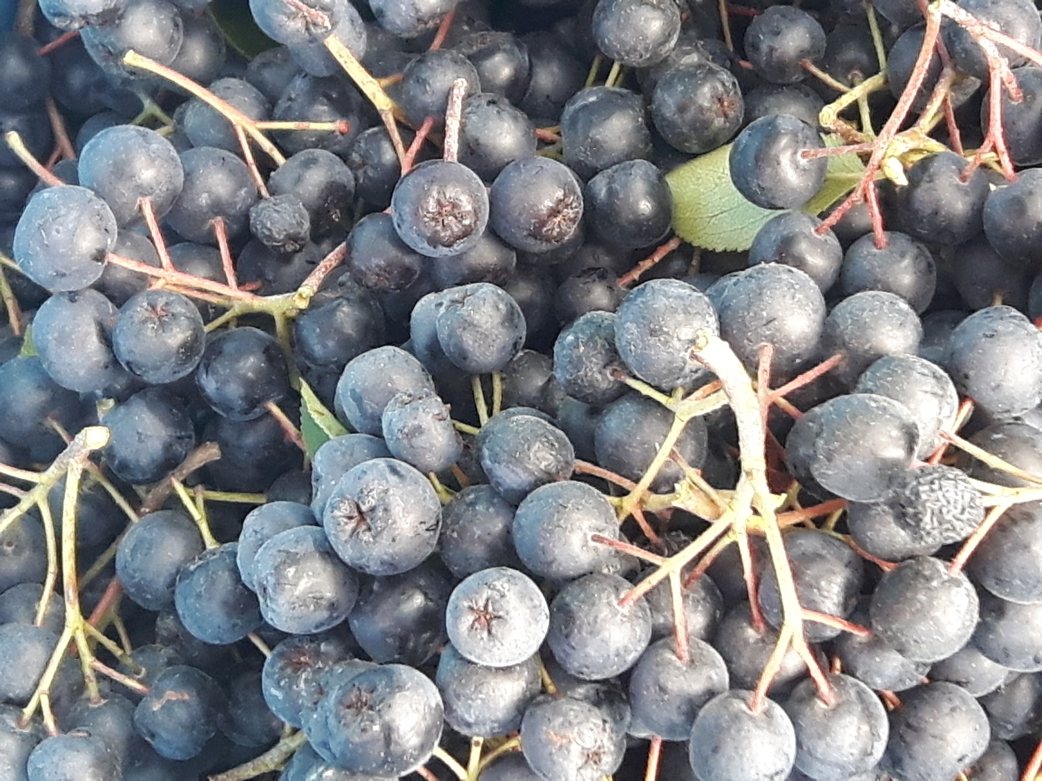 Aronia fruits 4 by Mevludin_Hasanovic