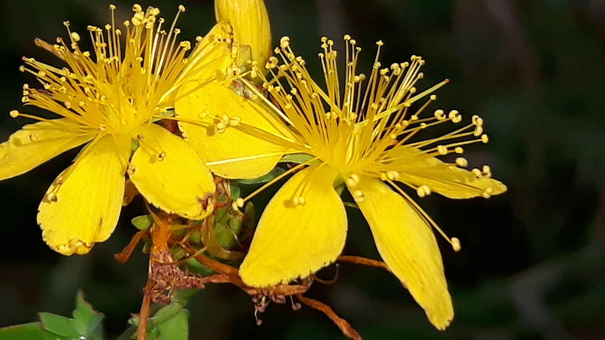 Beautiful yellow beauty by Mevludin_Hasanovic