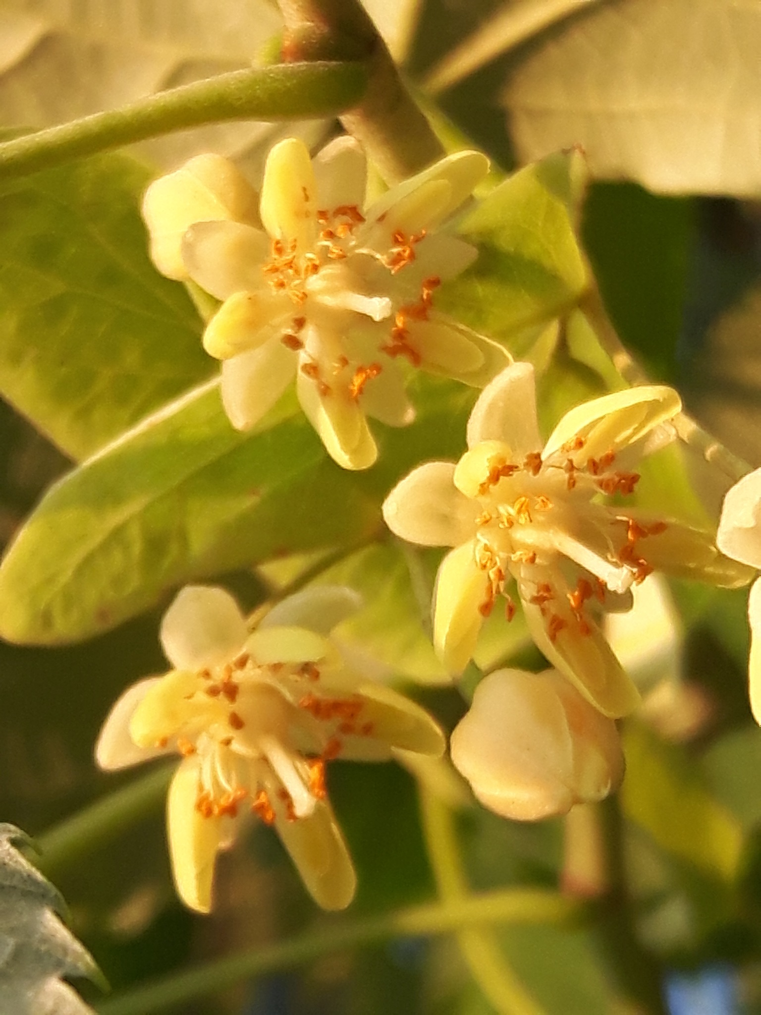 White lime flower with beautiful fragrance by Mevludin_Hasanovic