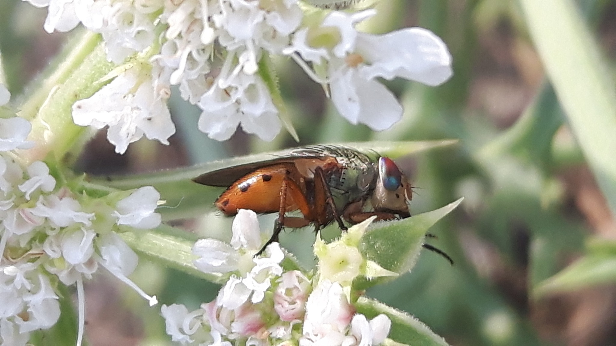 Green and orange coloured fly by Mevludin_Hasanovic