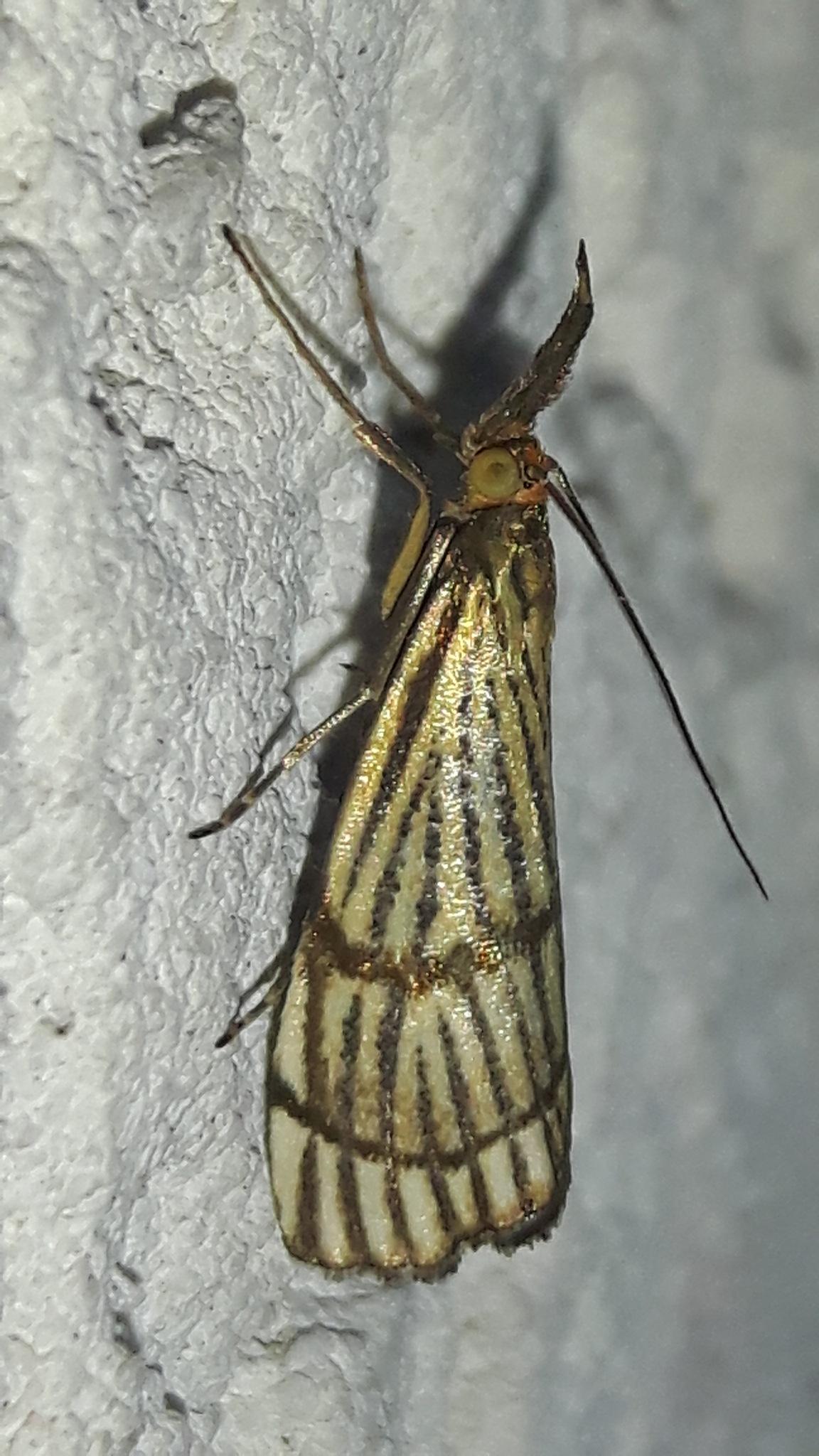 Left side of golden moth by Mevludin_Hasanovic