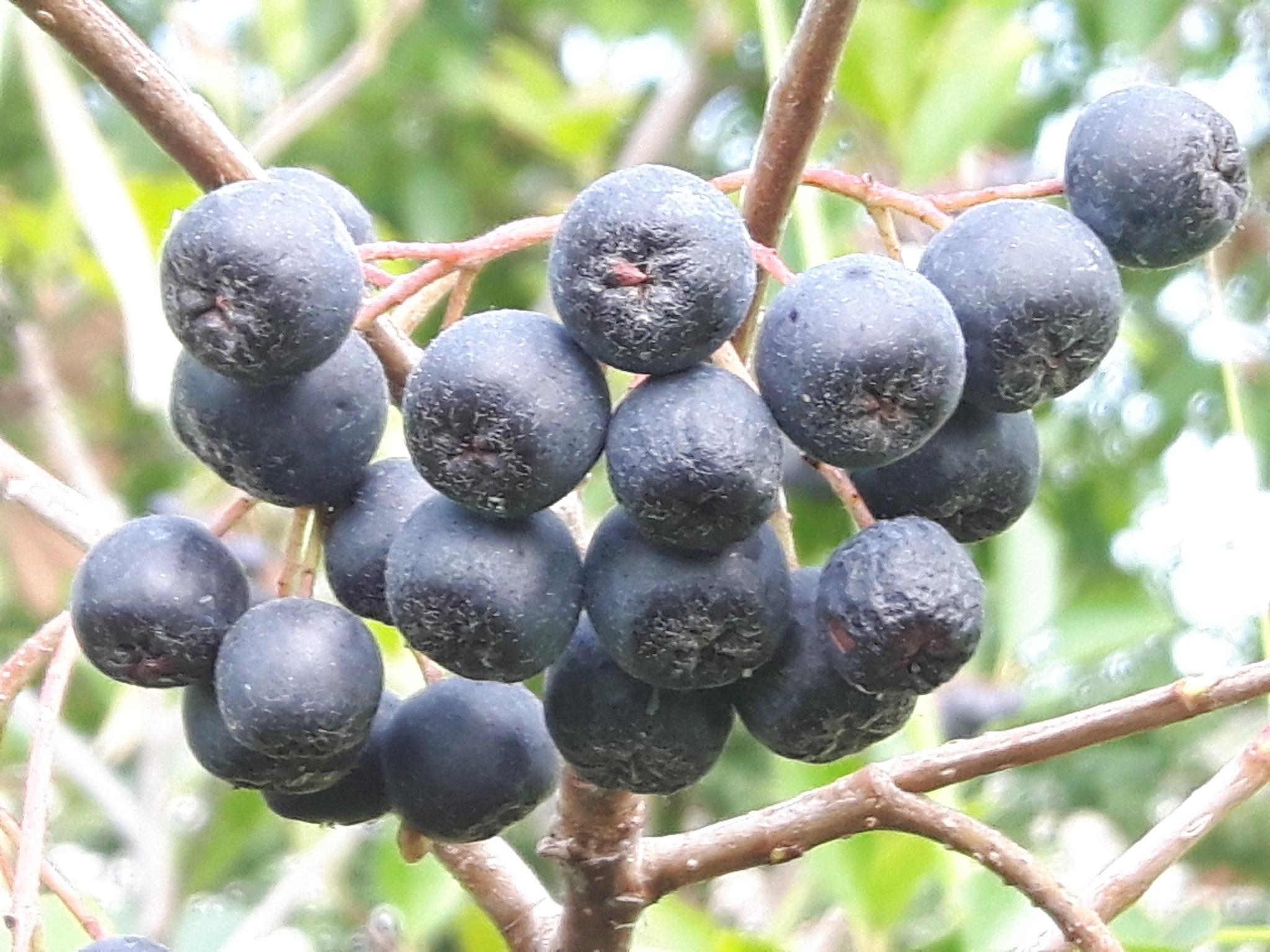 Aronia fruits 3 by Mevludin_Hasanovic