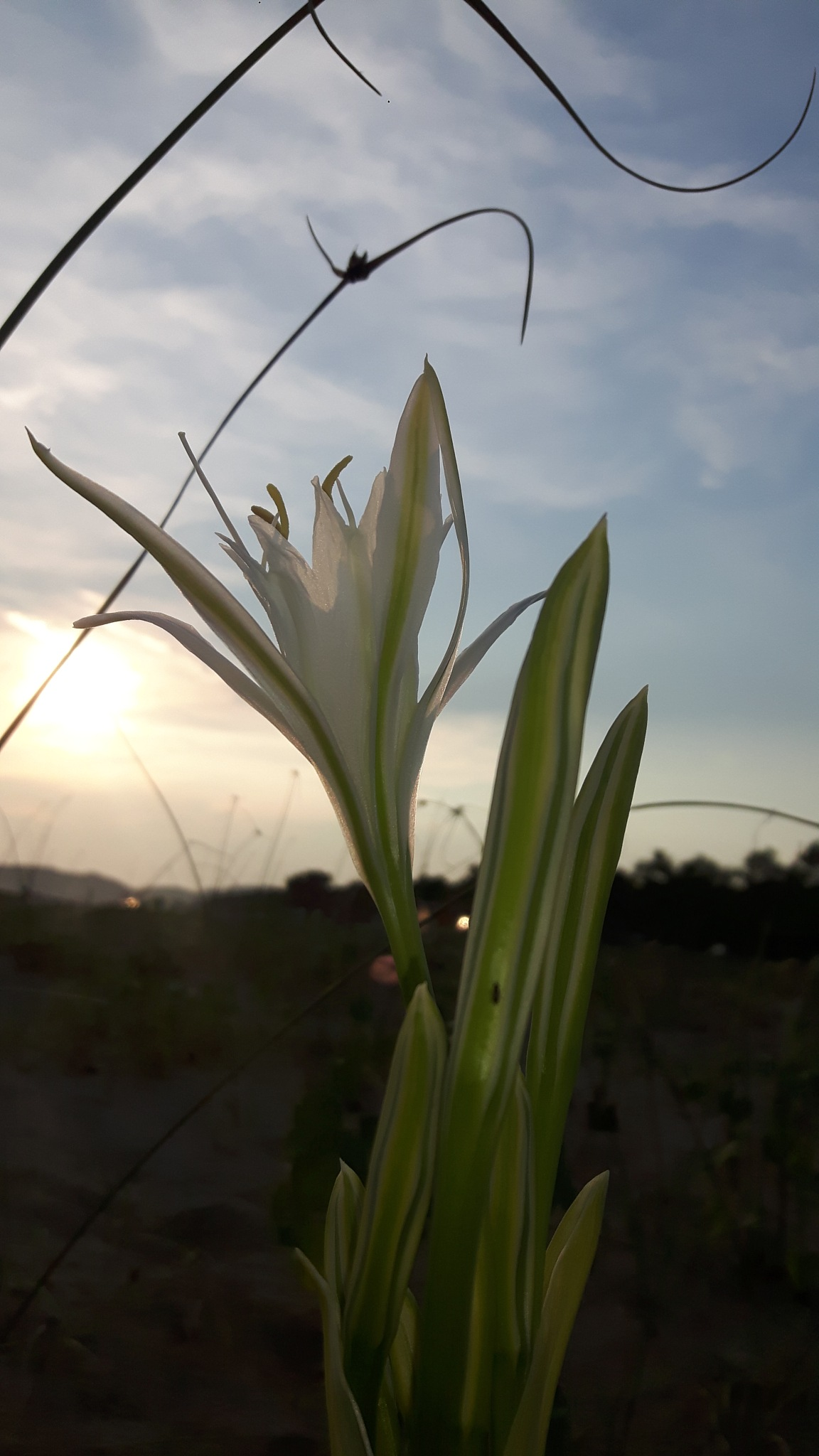 Lilly flower and sunset beauty by Mevludin_Hasanovic