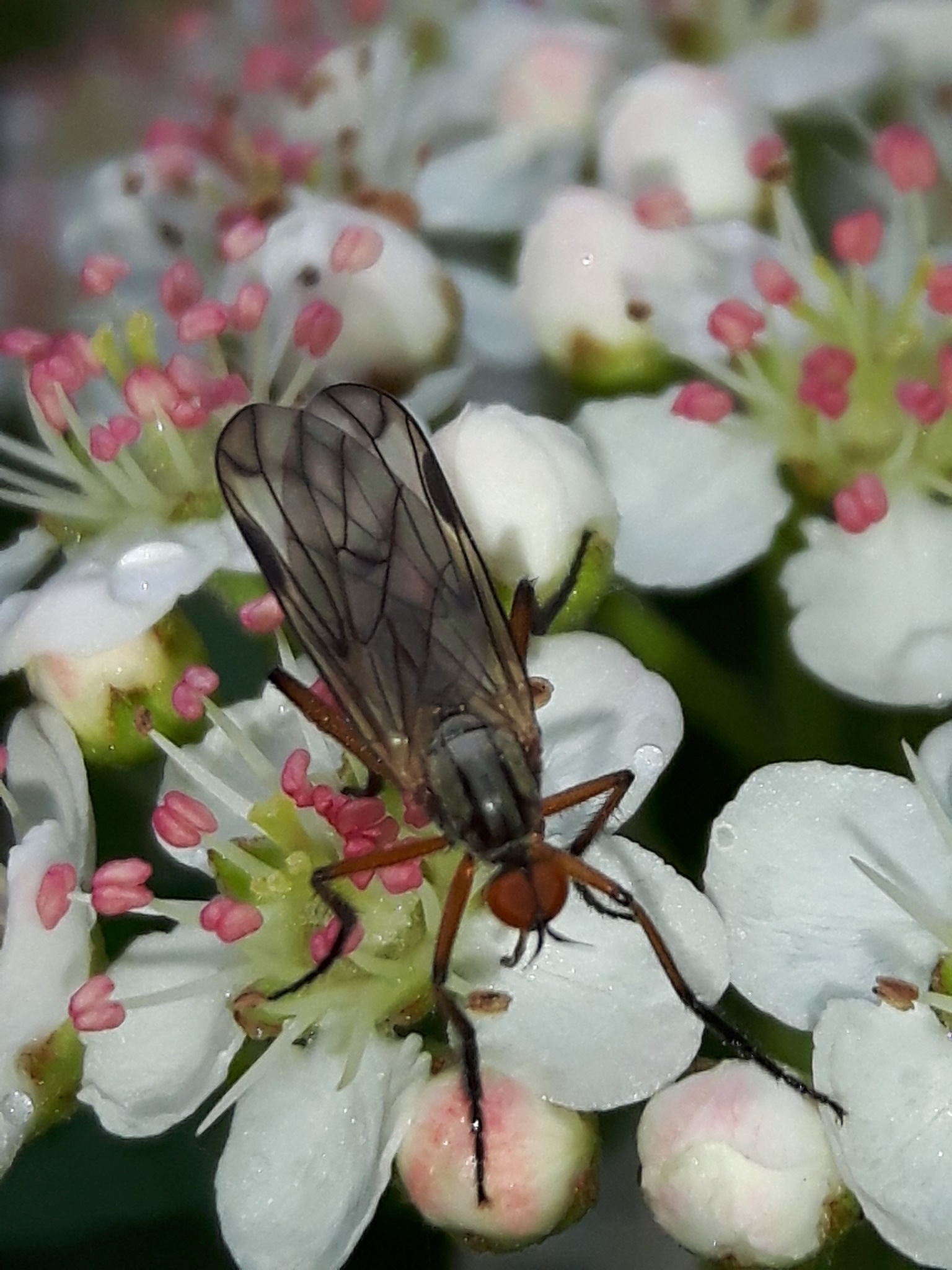 A fly on aronia flowers by Mevludin_Hasanovic
